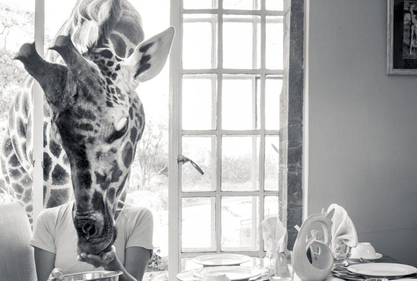 Giraffe Manor Kenya Giraffe
