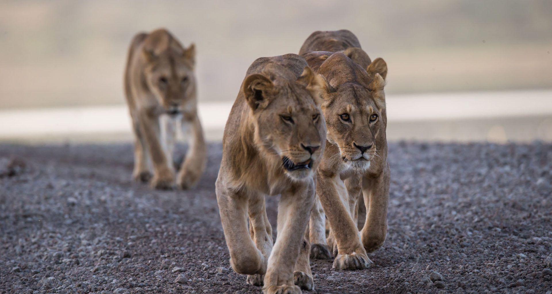 Tanzania-Loliondo-Serengeti-Lion