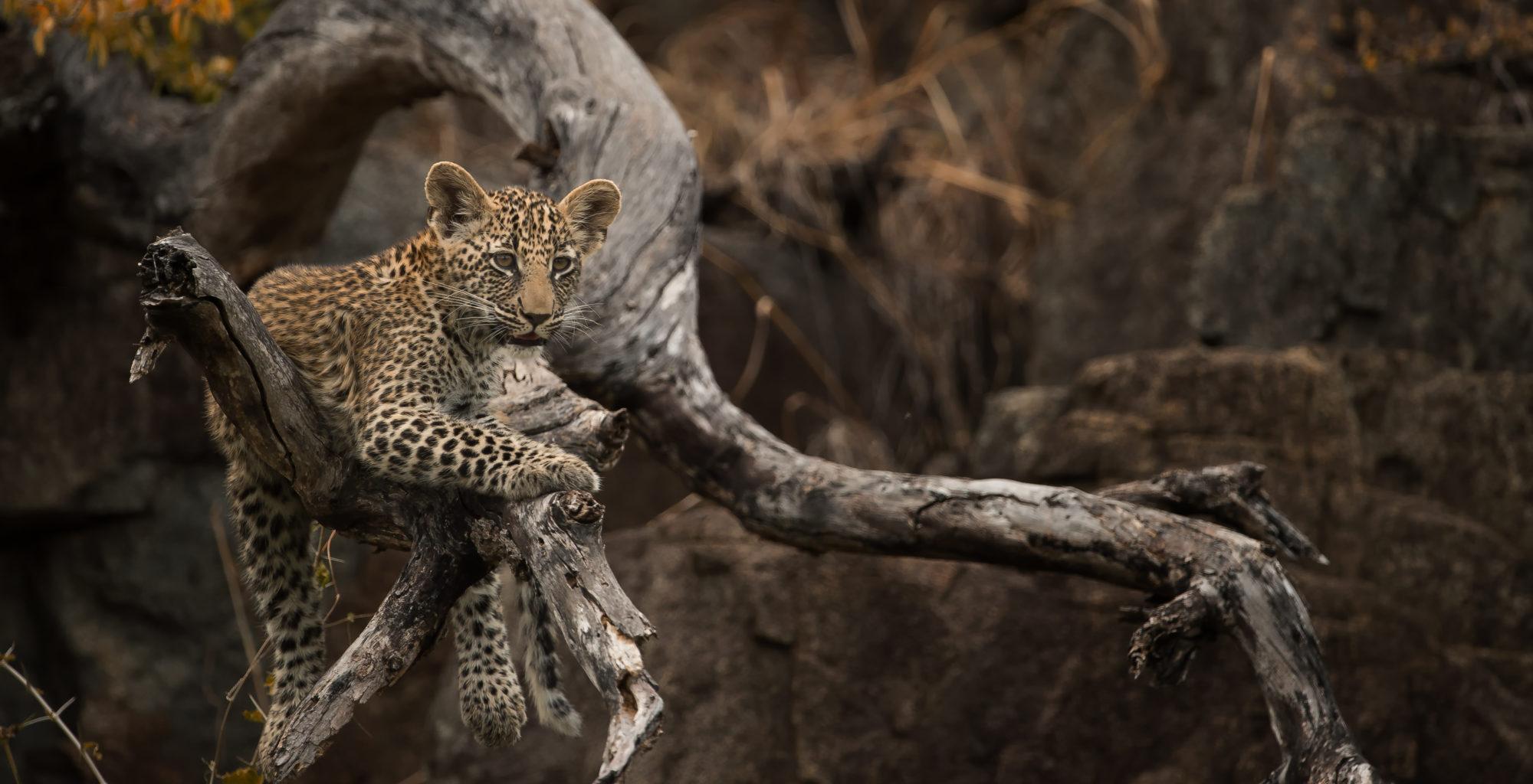 South-Africa-Singita-Castleton-Wildlife-Leopard