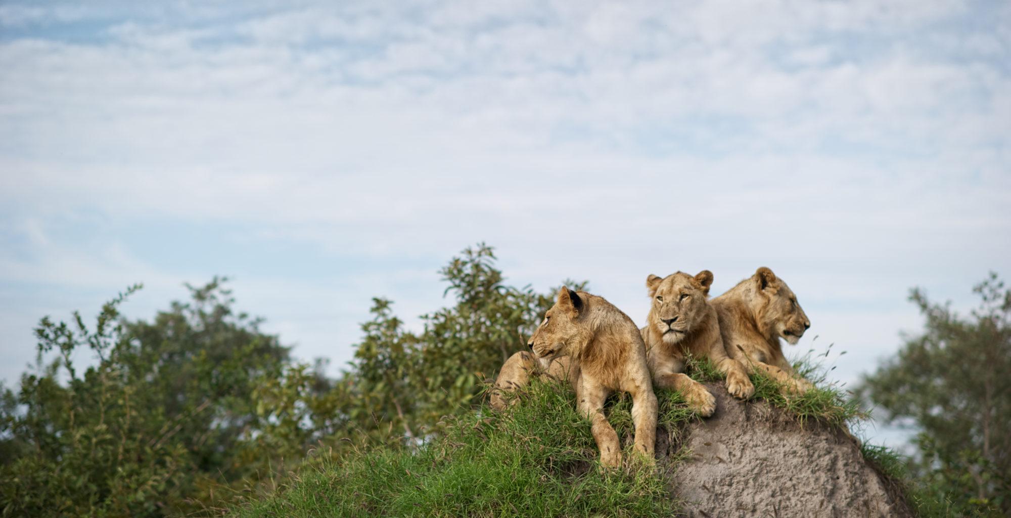 South-Africa-Singita-Lebombo-Wildlife-Lions