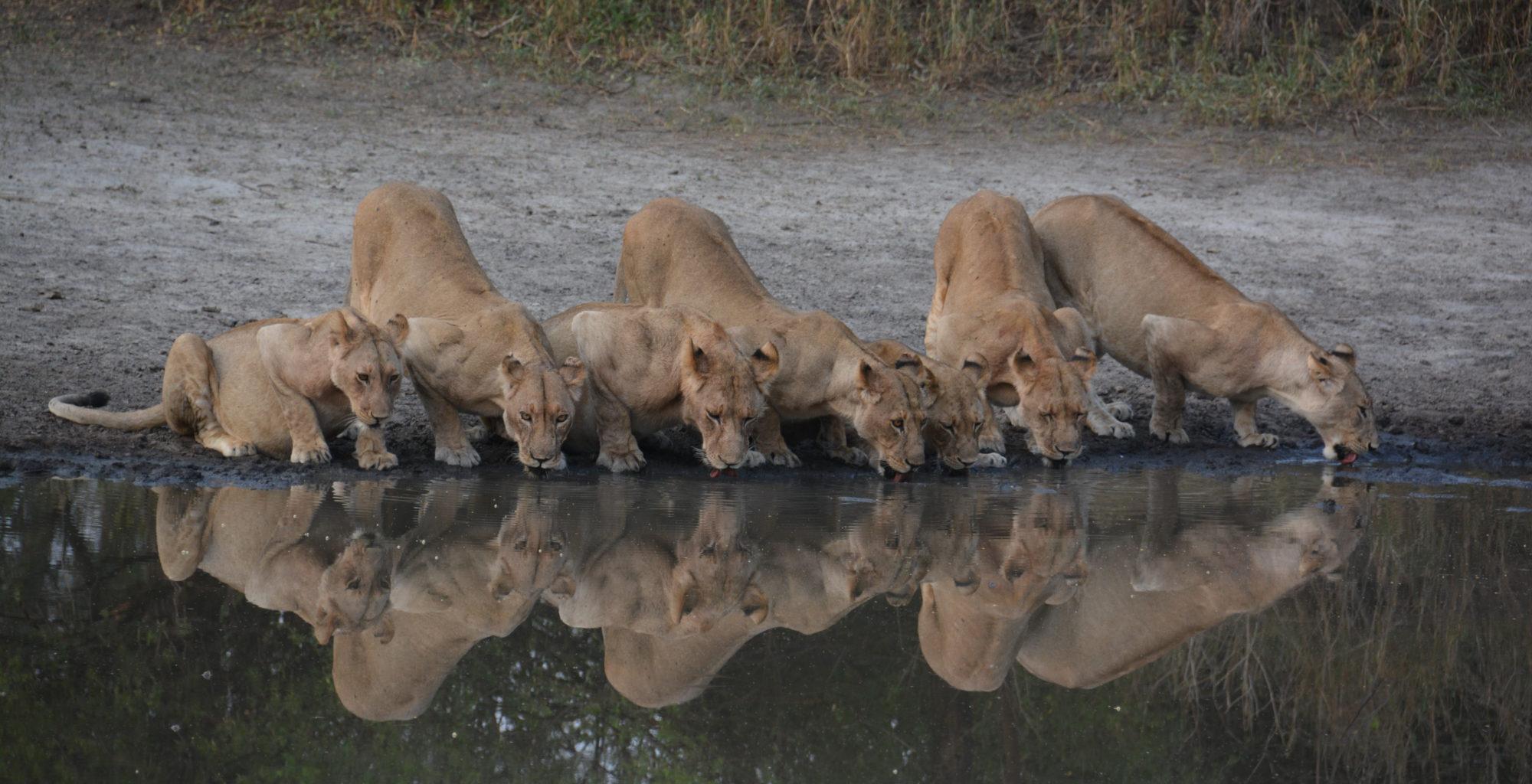 Tanzania-Tarangire-Lion