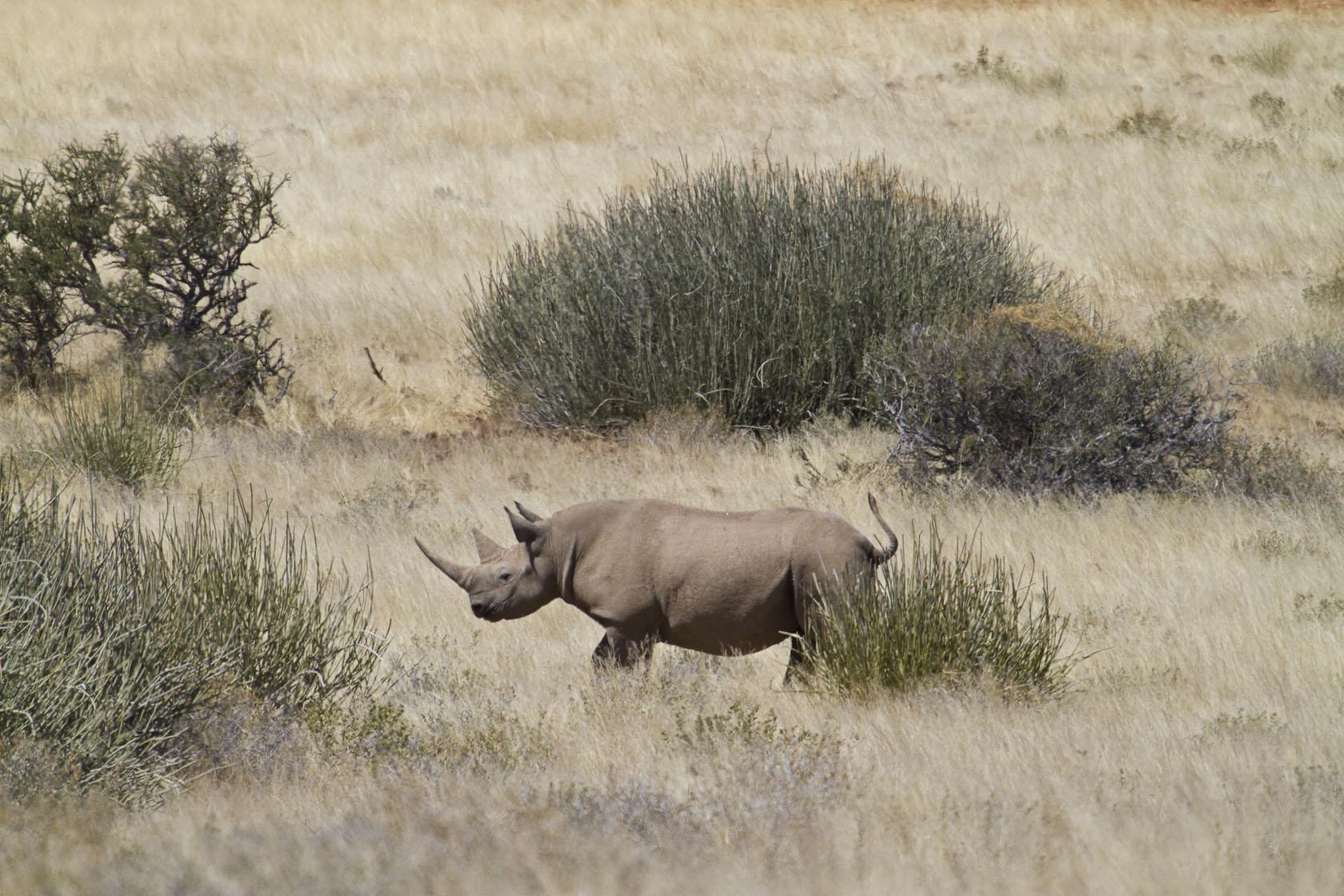 Desert Rhino Camp Namibia Rhino
