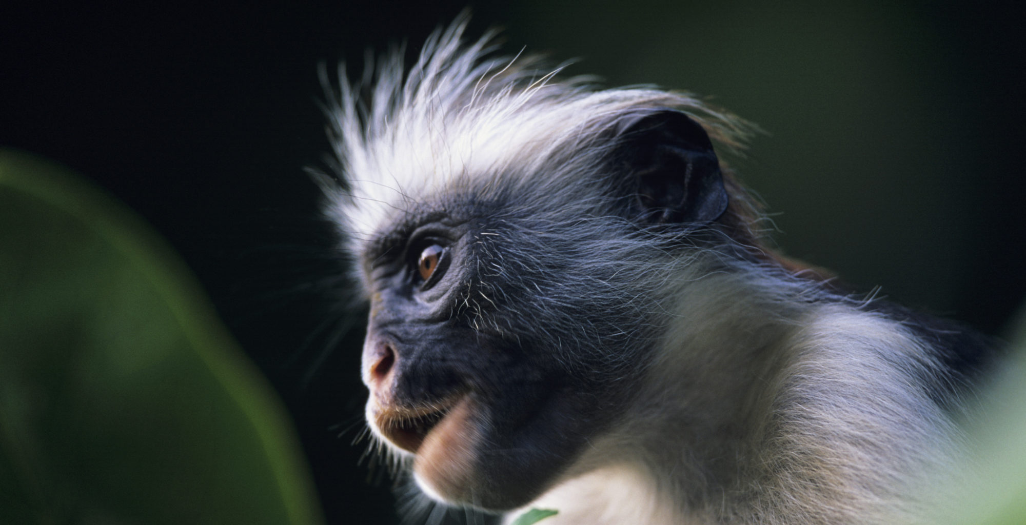 Zanzibar-Archipelago-Monkey