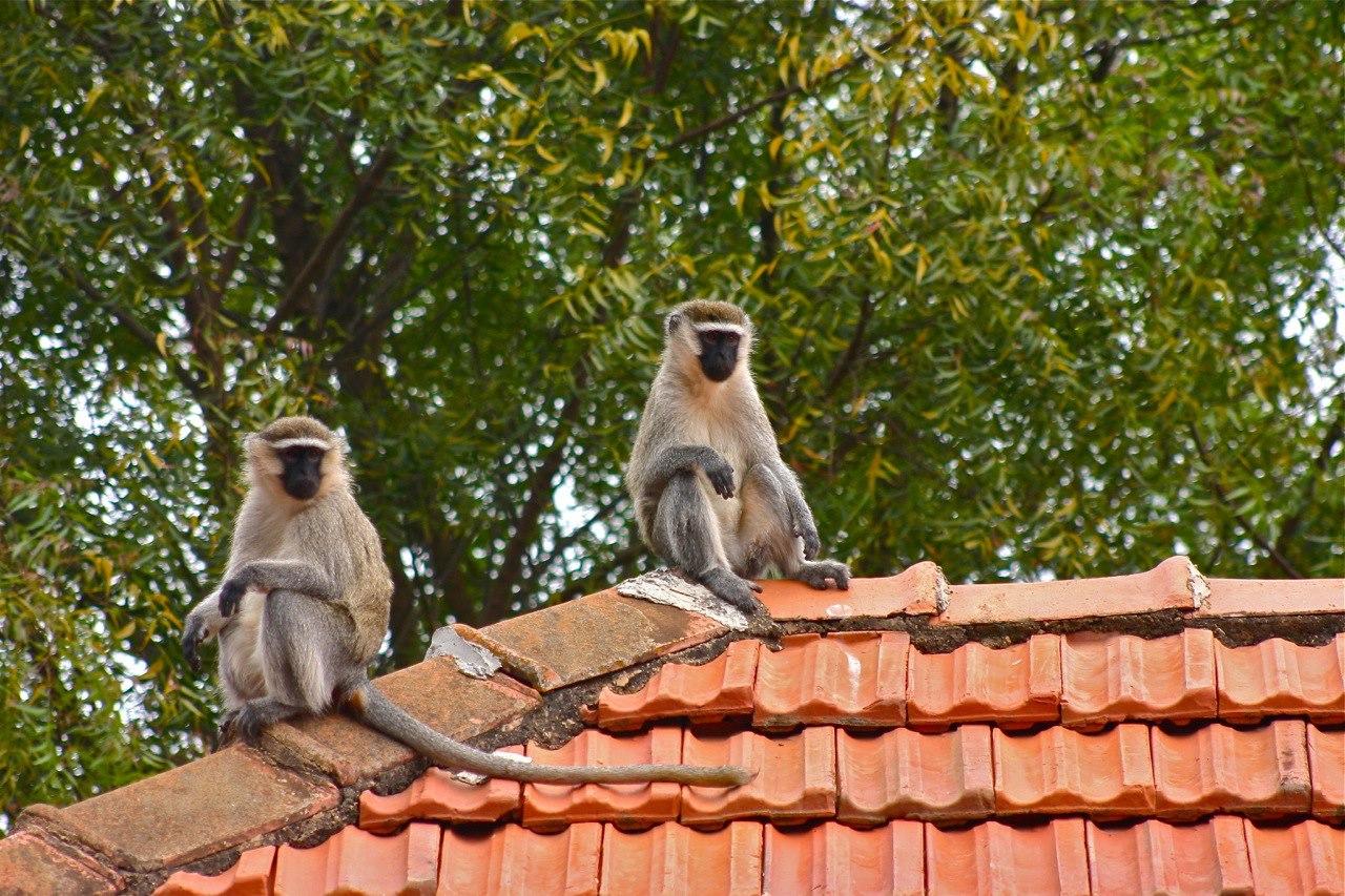 Boma Guest House Uganda Monkeys