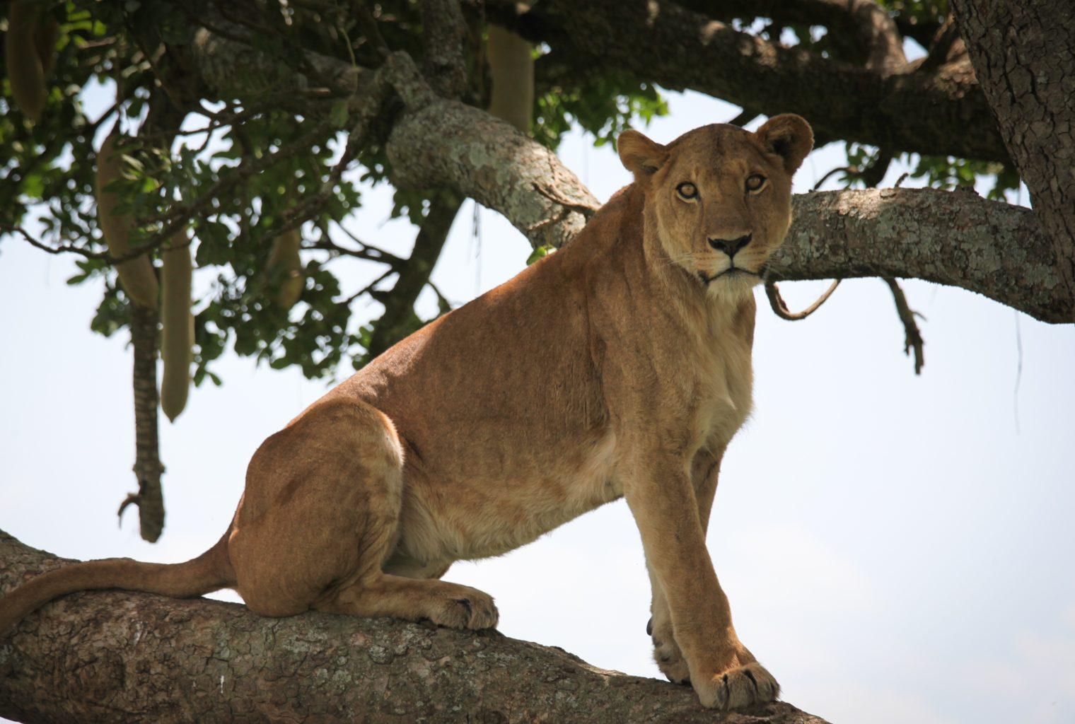 Apoka Uganda Lion
