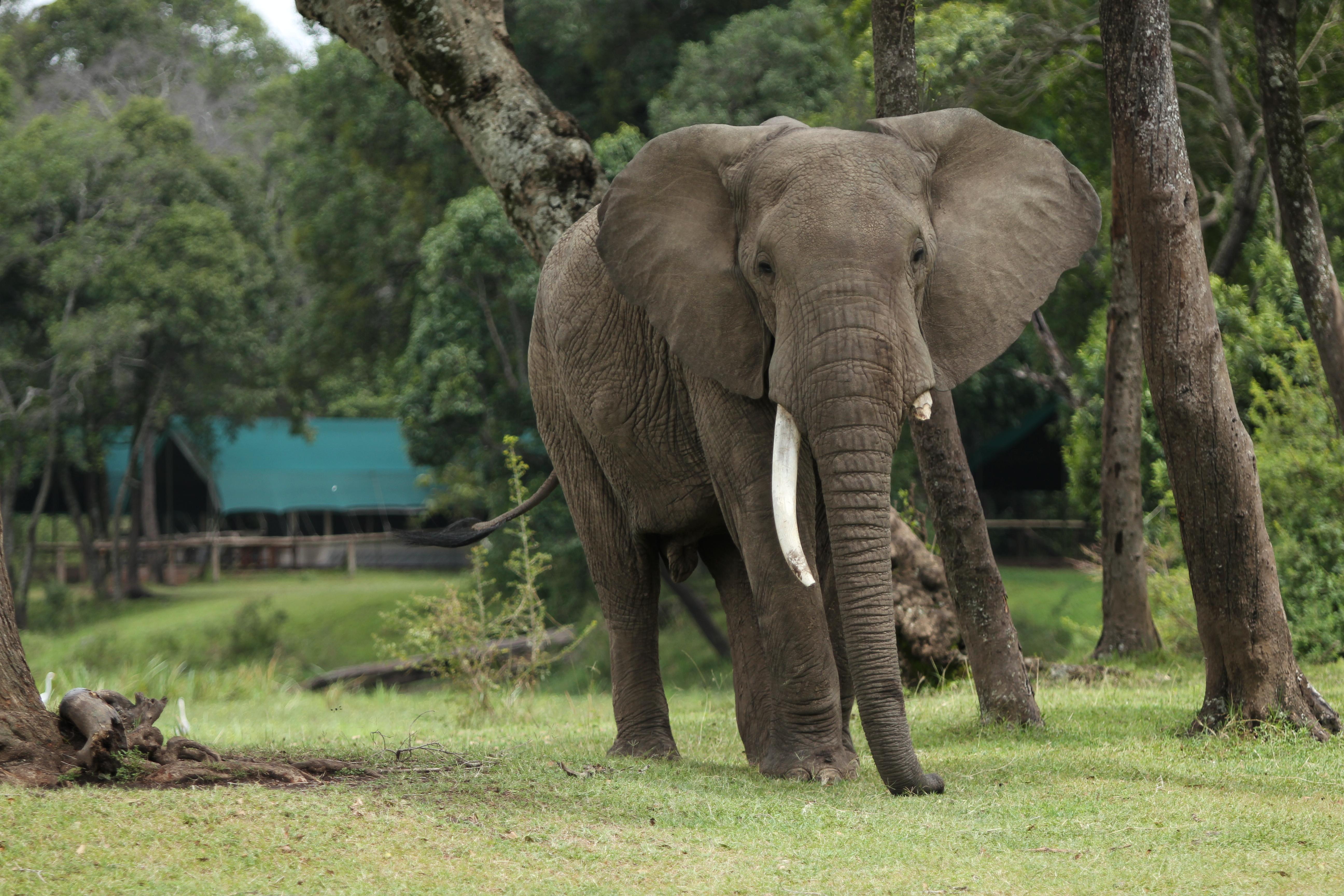 Little Governors Kenya Elephant