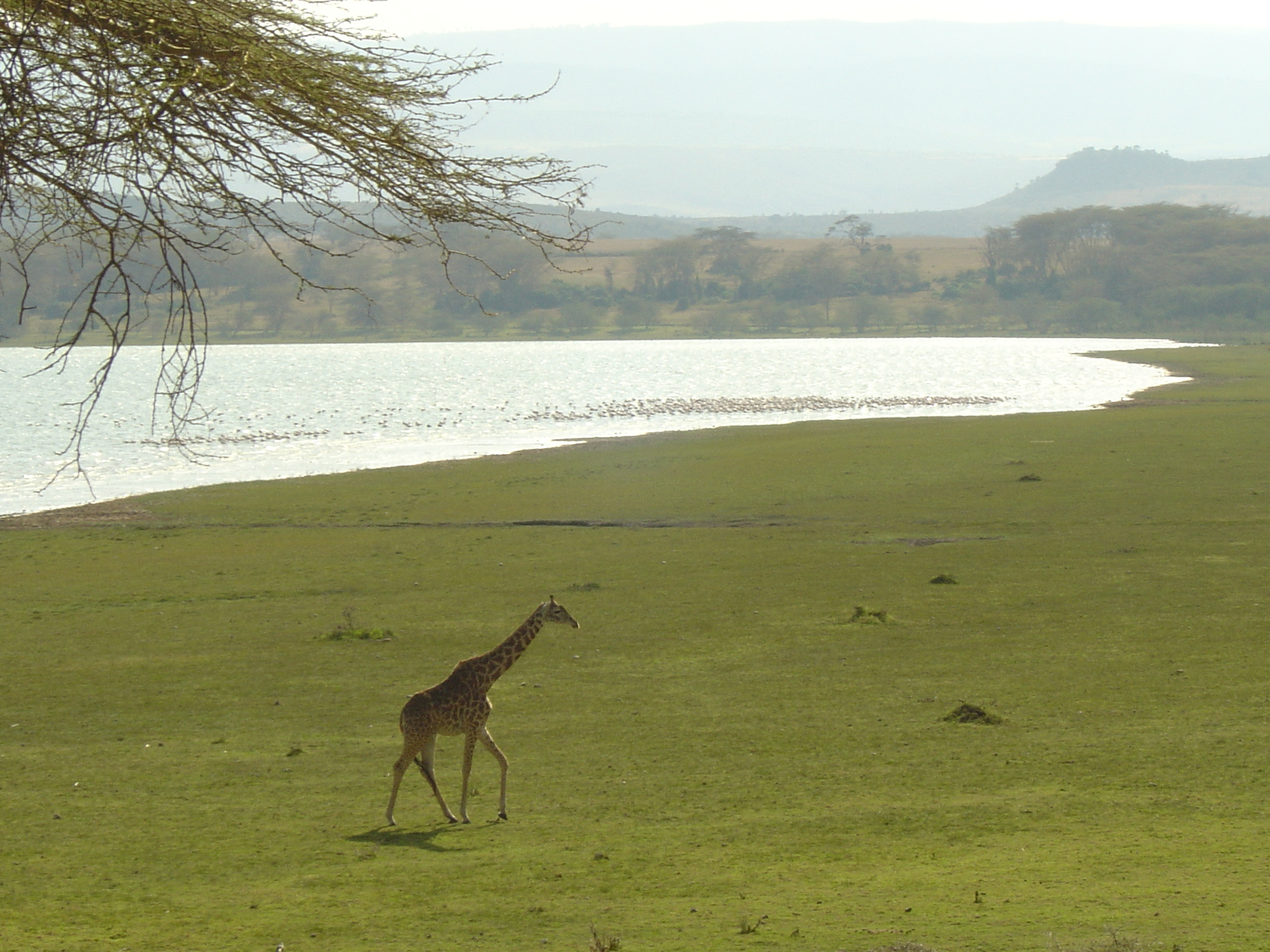 Hippo Point Kenya Giraffe