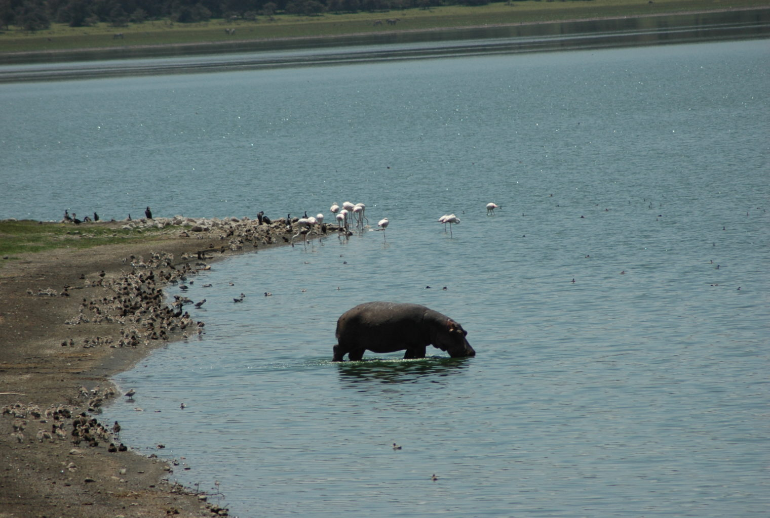 Mundui Estate Kenya Hippo