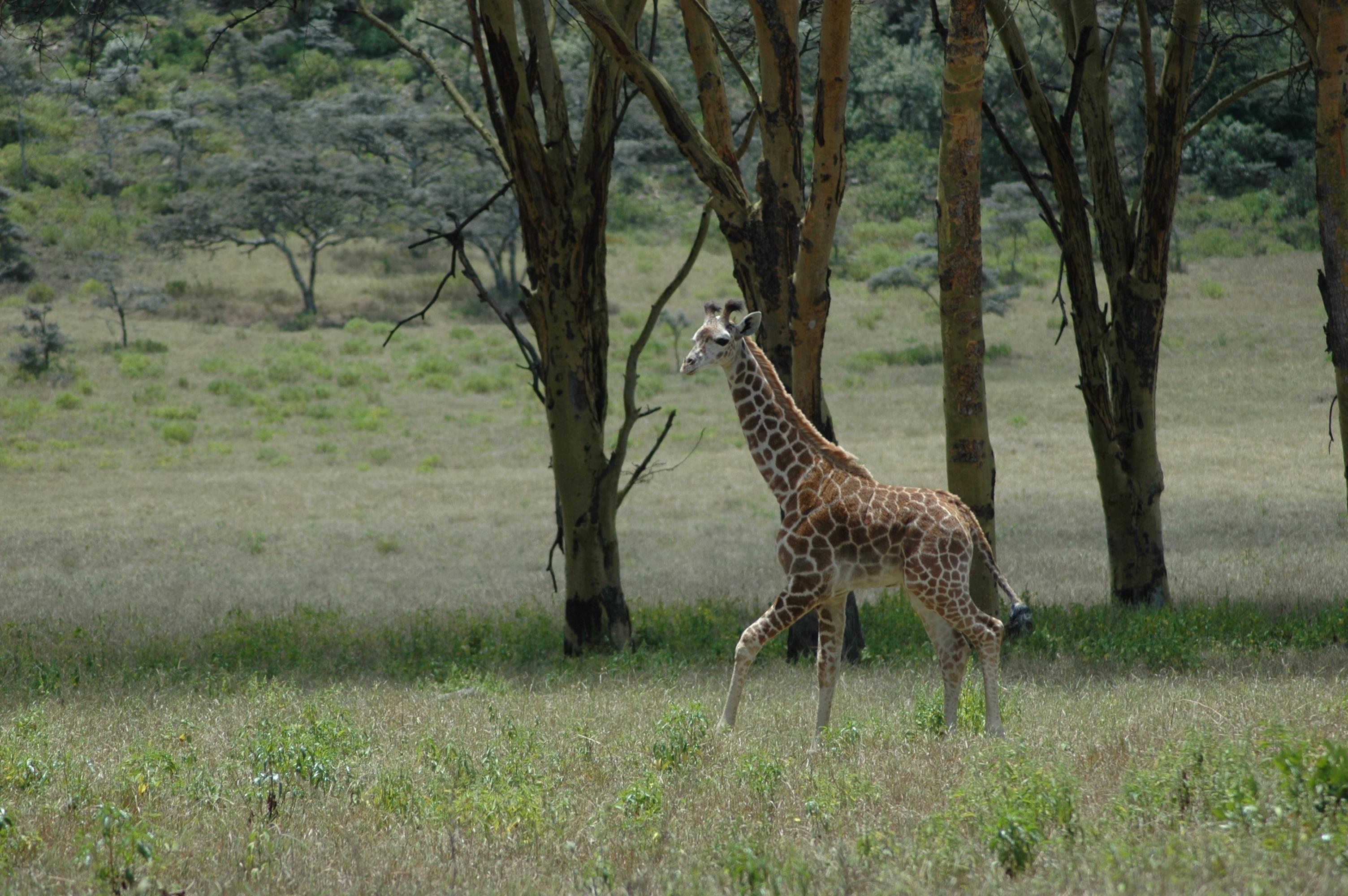 Mundui Estate Kenya Giraffe