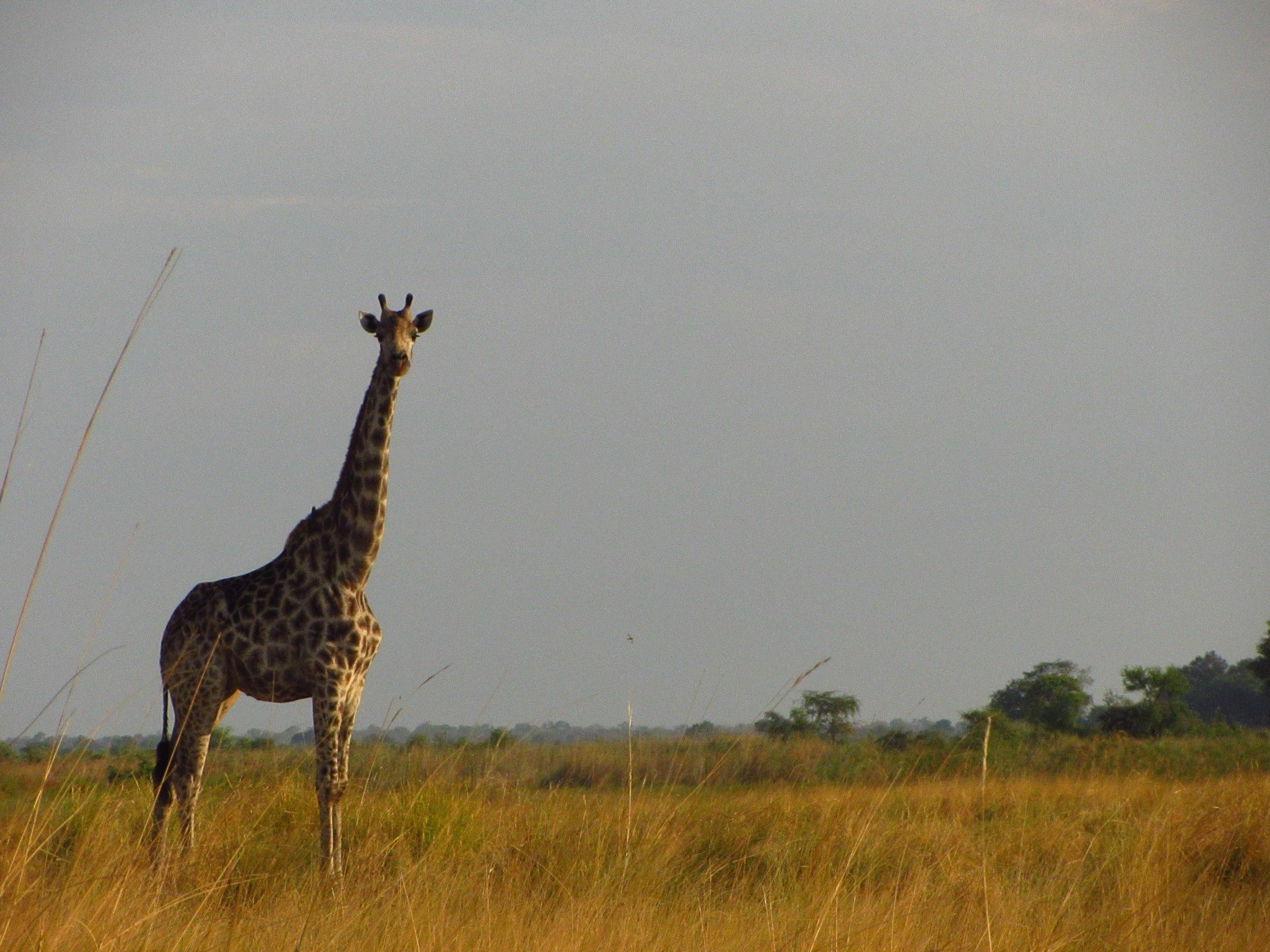 Susuwe Island Namibia Giraffe