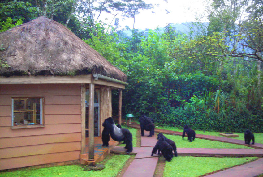 Africa; Uganda; Sanctuary Gorilla Forest Camp