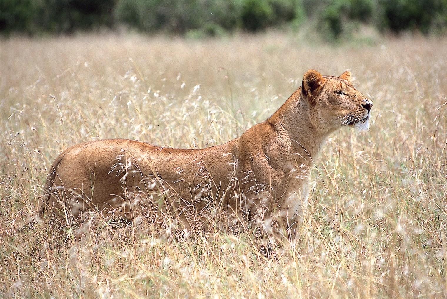 Serian Kenya Lioness