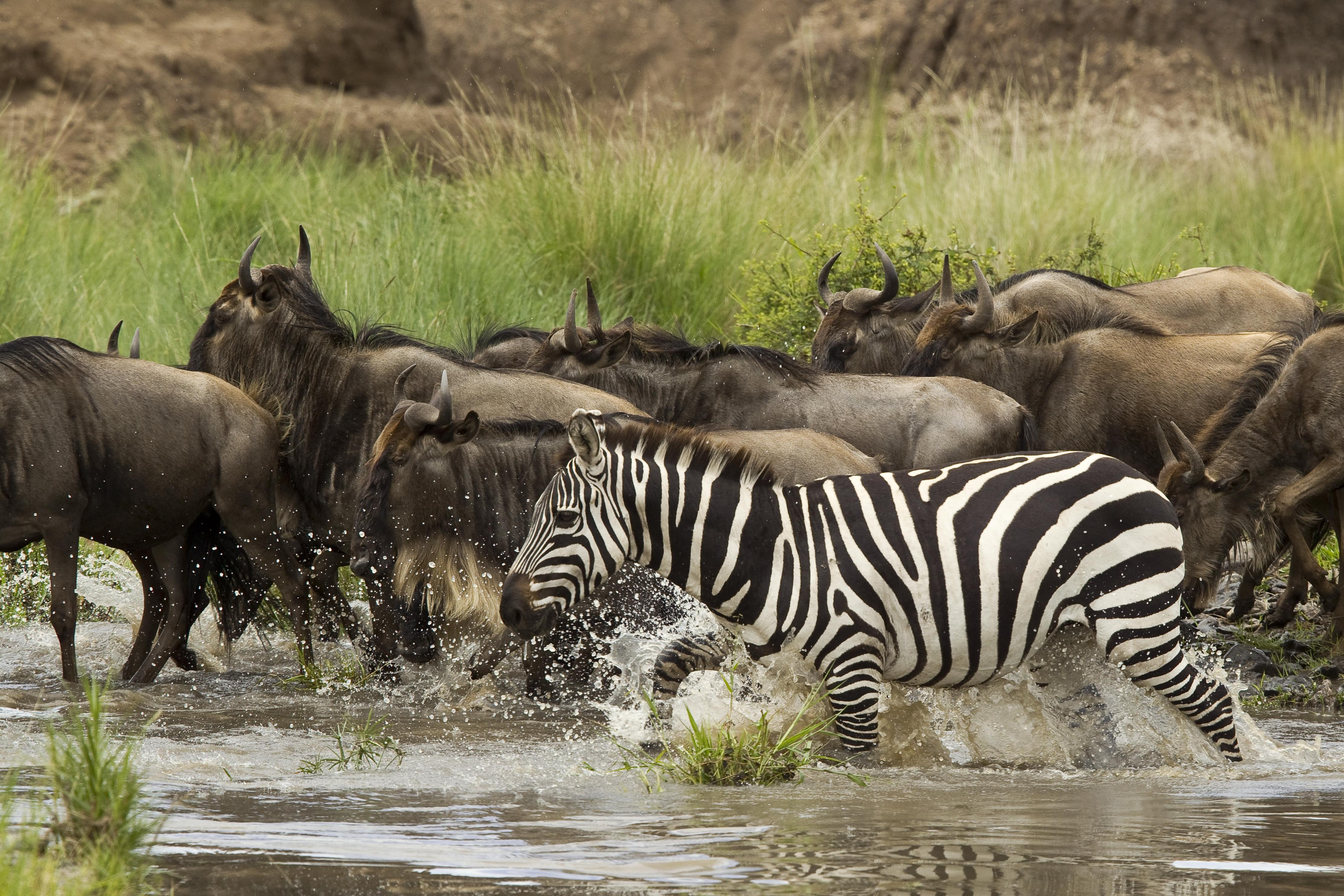 Mara Toto Kenya Zebra