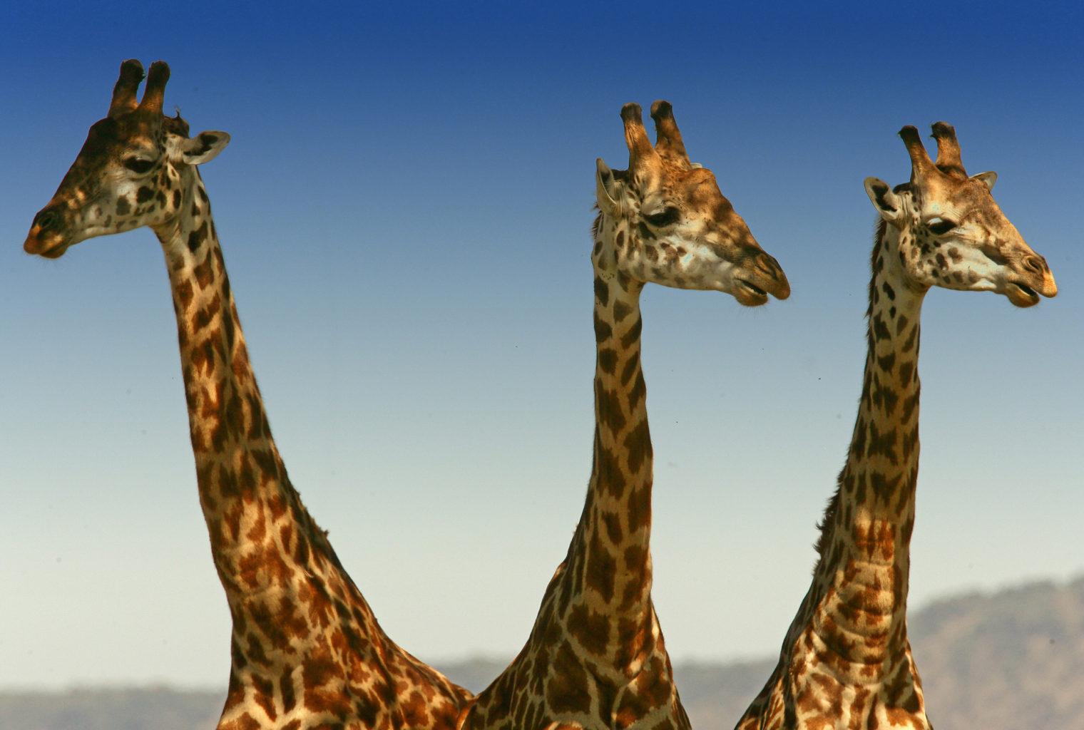 Little Governors Kenya Giraffes