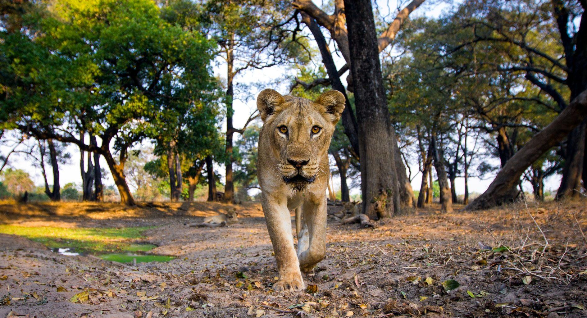 Zambia,-Mchenja-Camp-lion