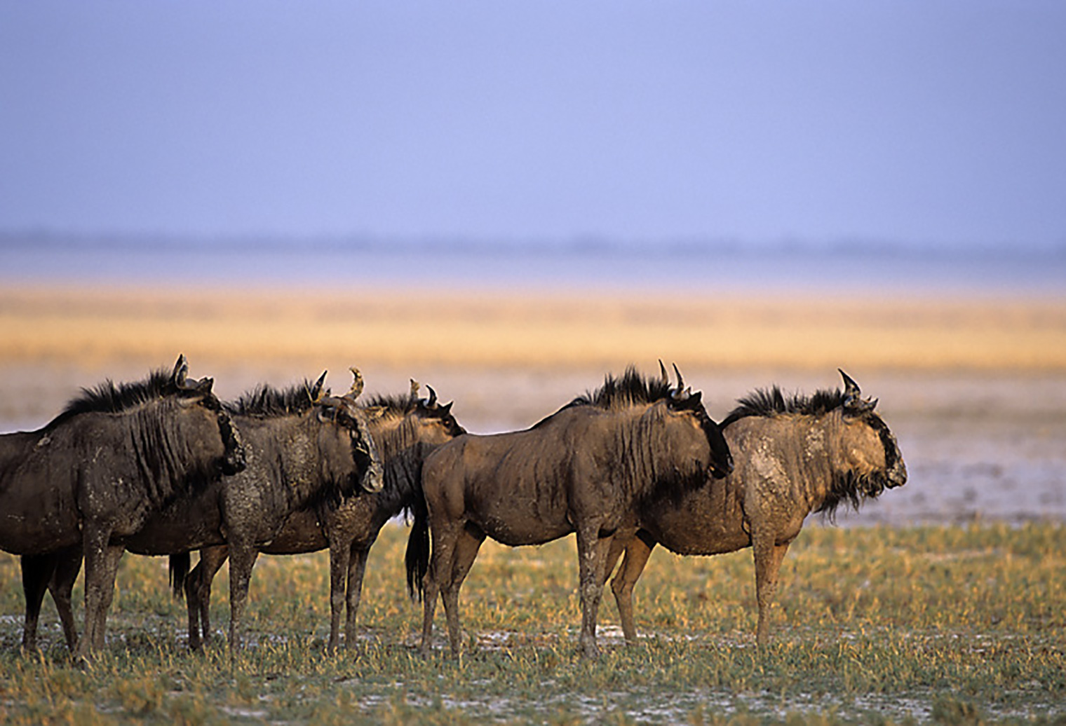 Onguma-Bush-Camp-Namibia-Wildebeest