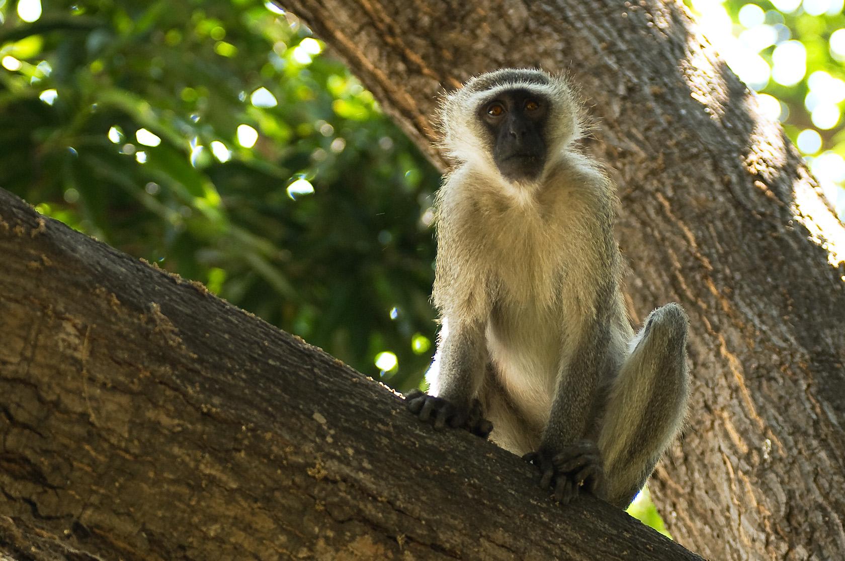 Pumulani Kenya Monkey