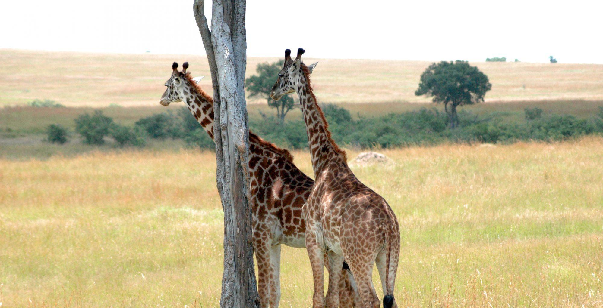 Kenya-Naibor-Giraffe