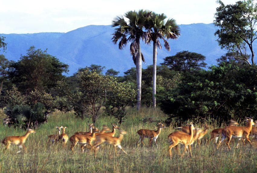 Semliki Uganda Wildlife Shot