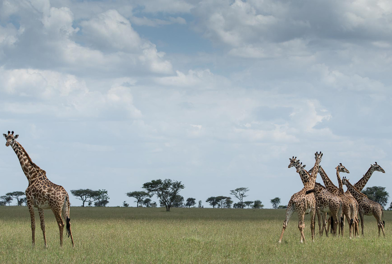 Singita-Mara-Tented-Camp-Tanzania-Giraffes
