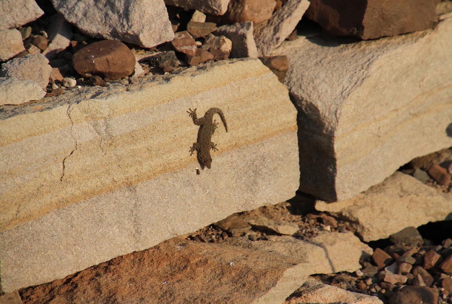 Skeleton-Coast-Safari-Gecko