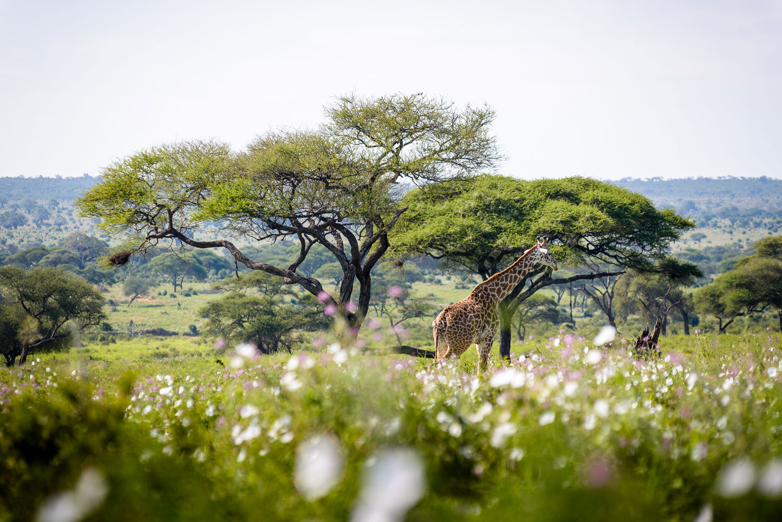 Swala-Tanzania-Tarangire-Giraffe-Wildlife