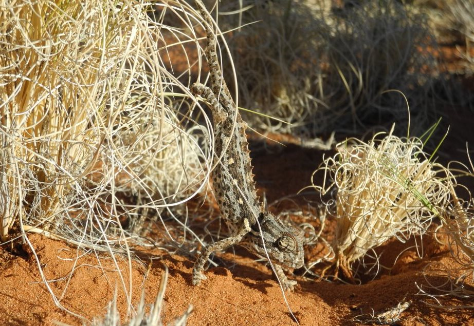 Tok Tokkie Trails Chameleon Namibia