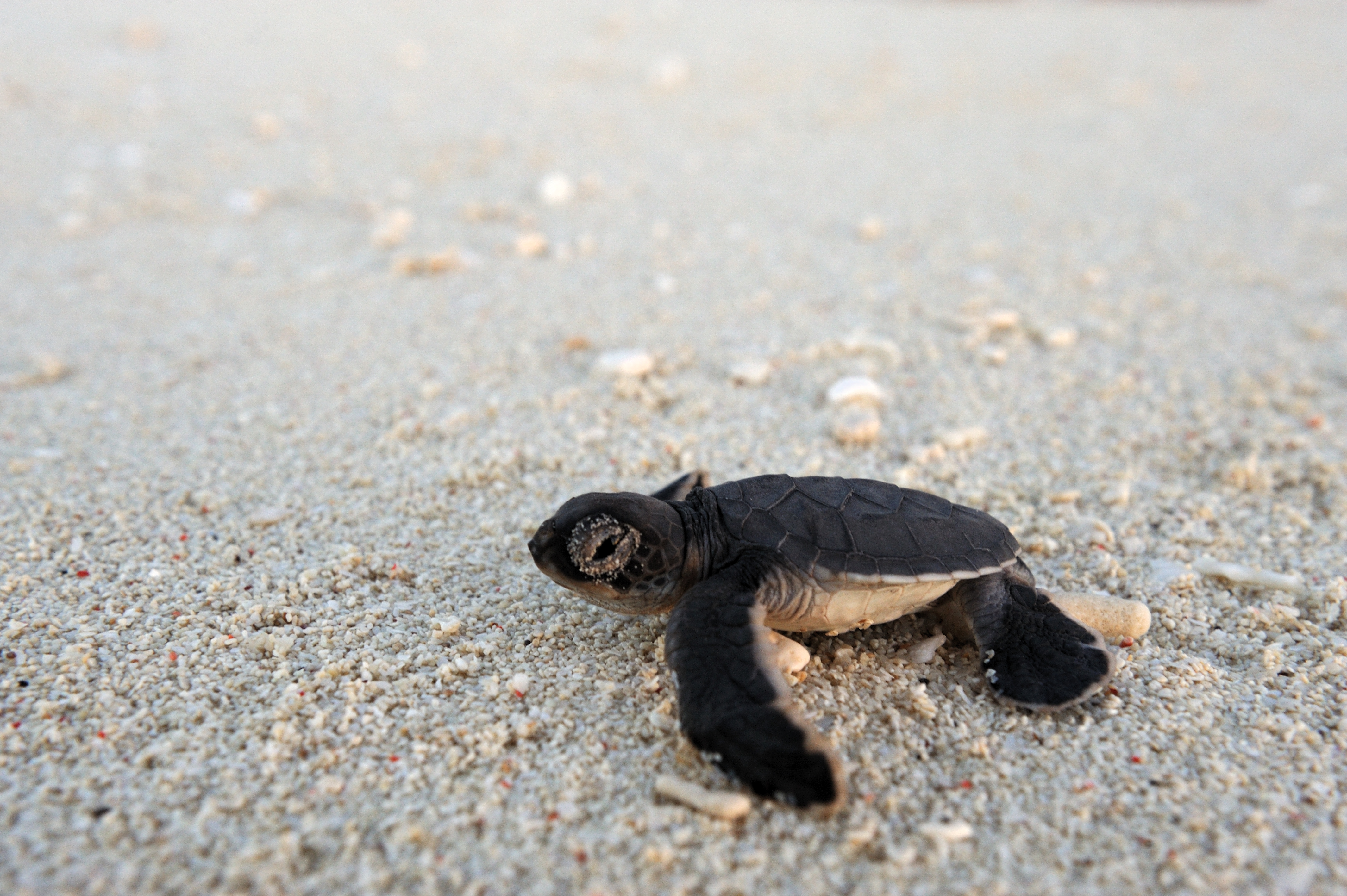 Vamizi-Lodge-Mozambique-turtle