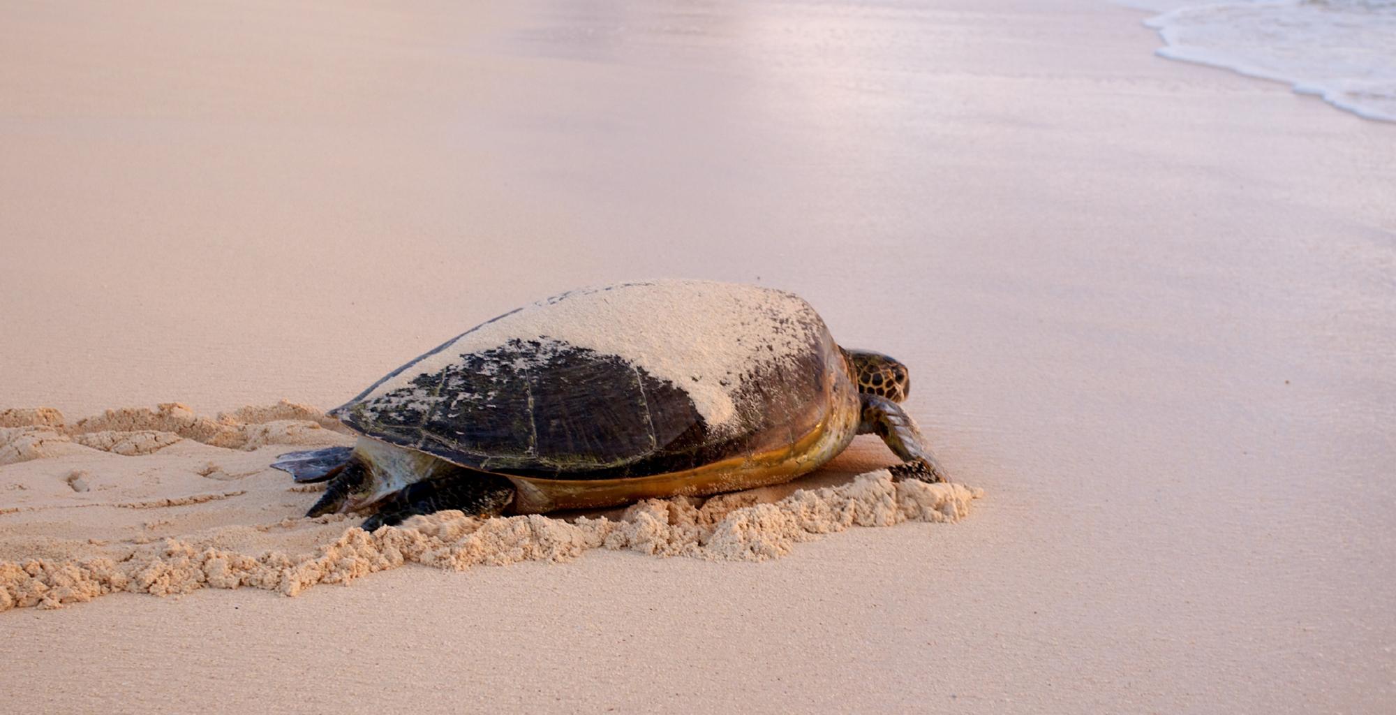 Mozambique-Quirimbas-Vamizi-Lodge-Turtle