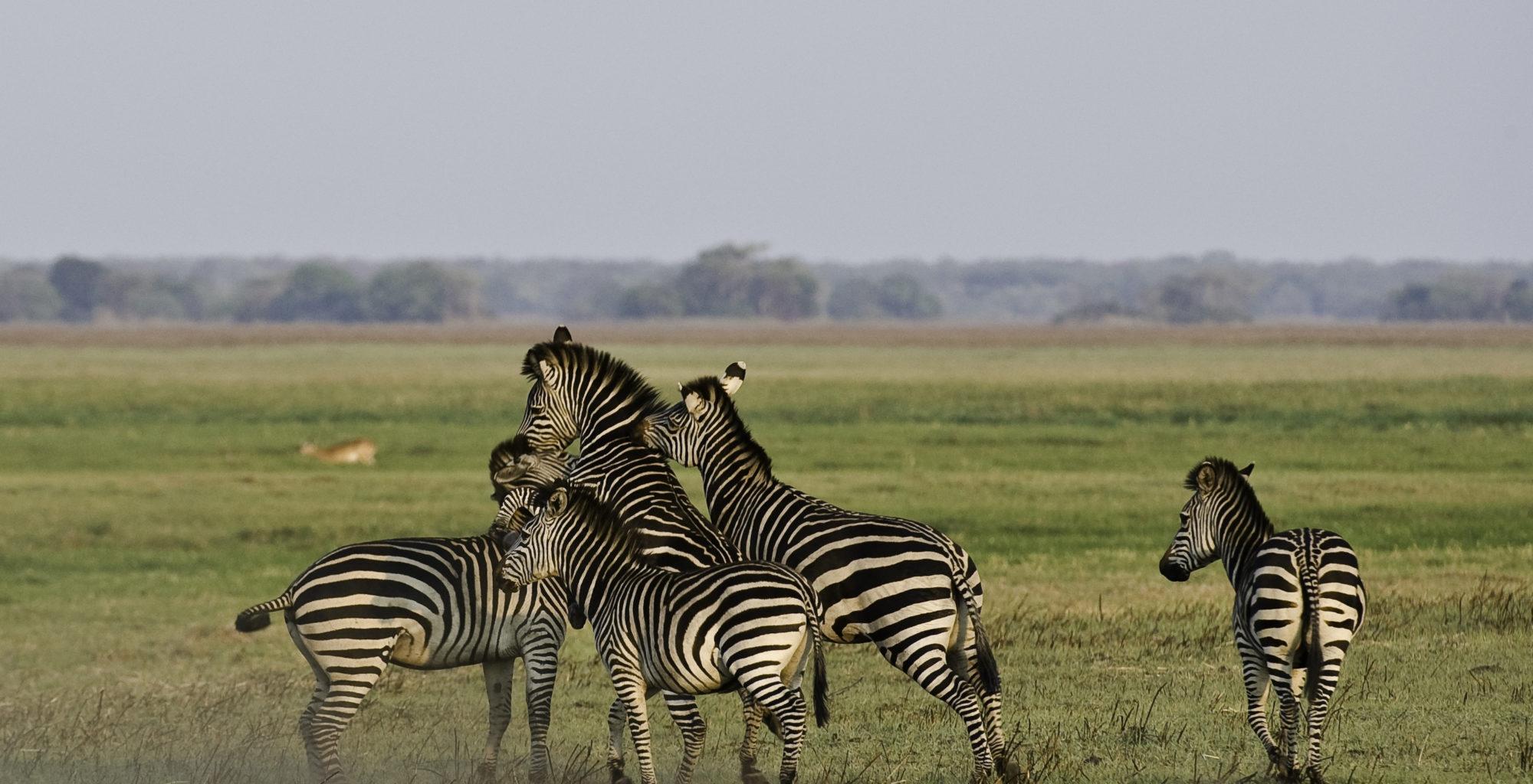 Zambia-Kafue-National-Park-Wildlife-Zebra