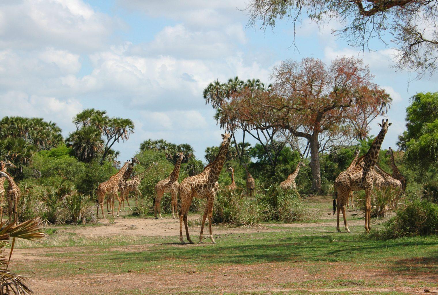 Beho Beho Tanzania Giraffe