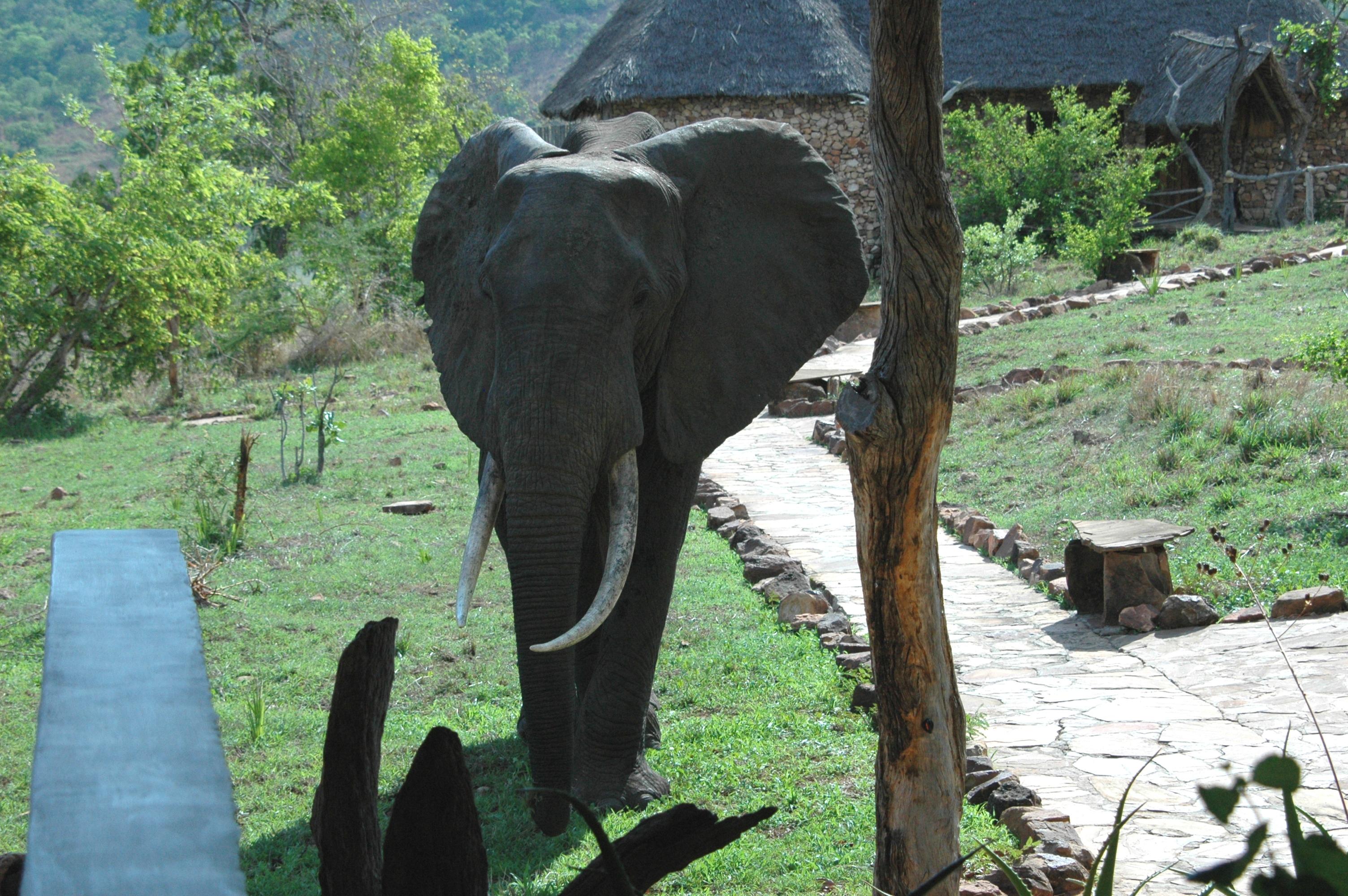 Beho Beho Tanzania Elephant