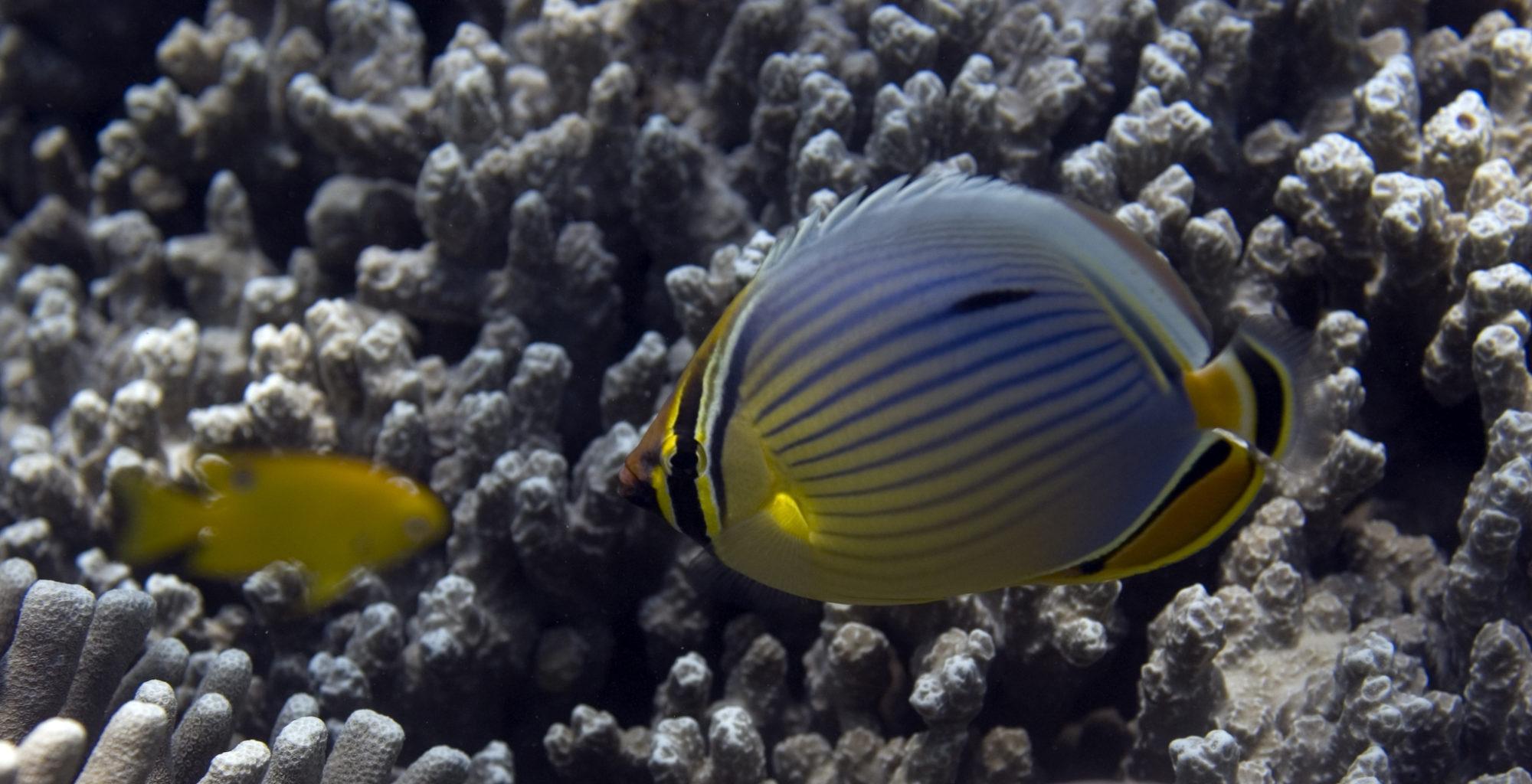 Tanzania-Chumbe-Island-Lodge-Butterfly-Fish