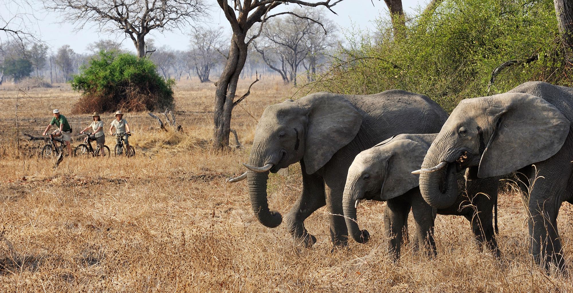 Zambia-Tafika-Camp-Wildlife-Elephant