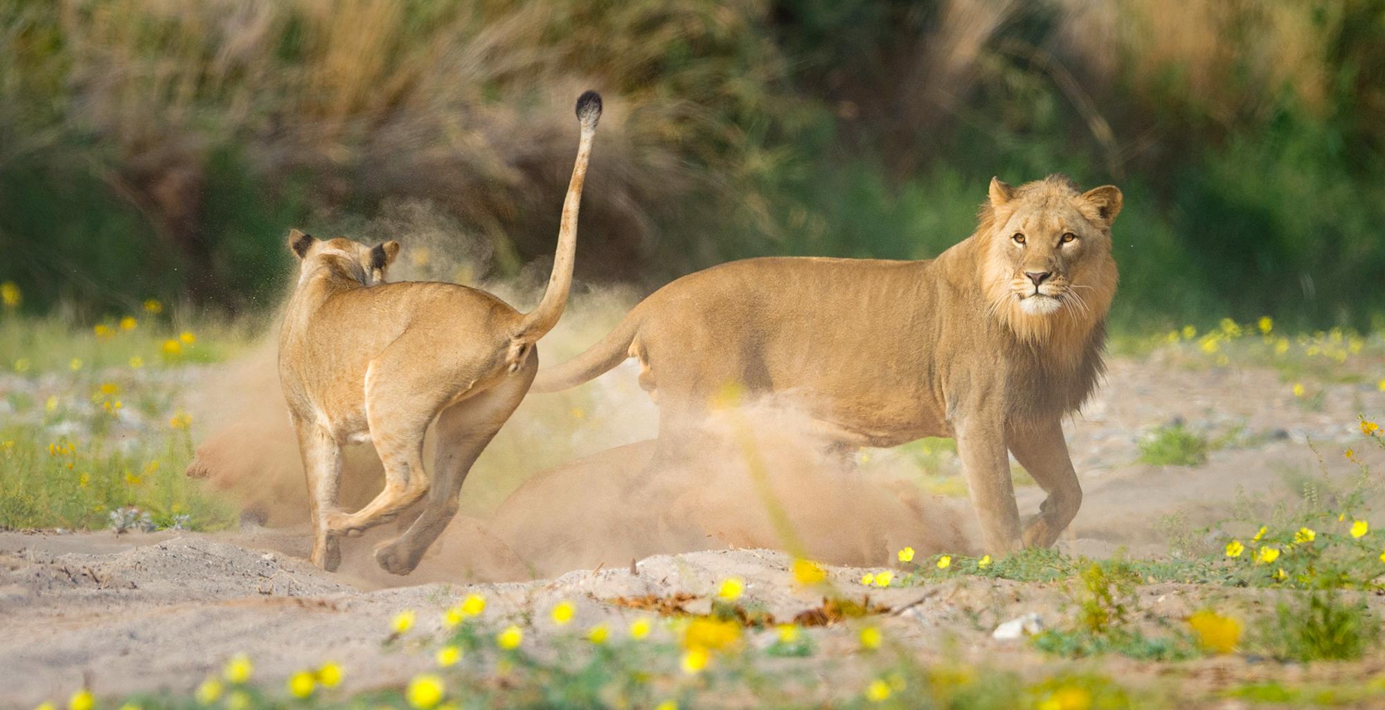 Namibia-Skeleton-Coast-Wildlife-Lion