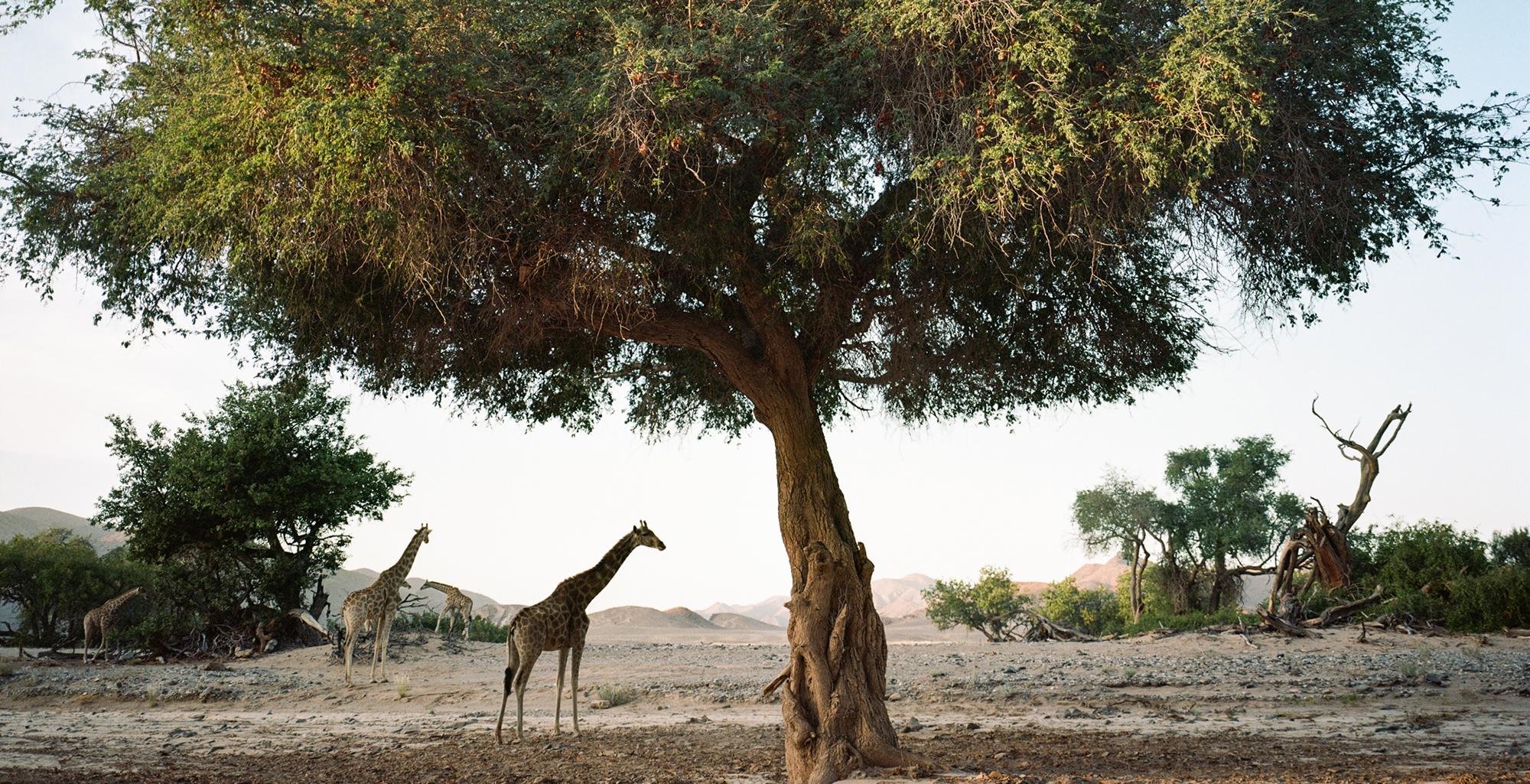 Namibia-Kaokoland-Wildlife-Giraffe