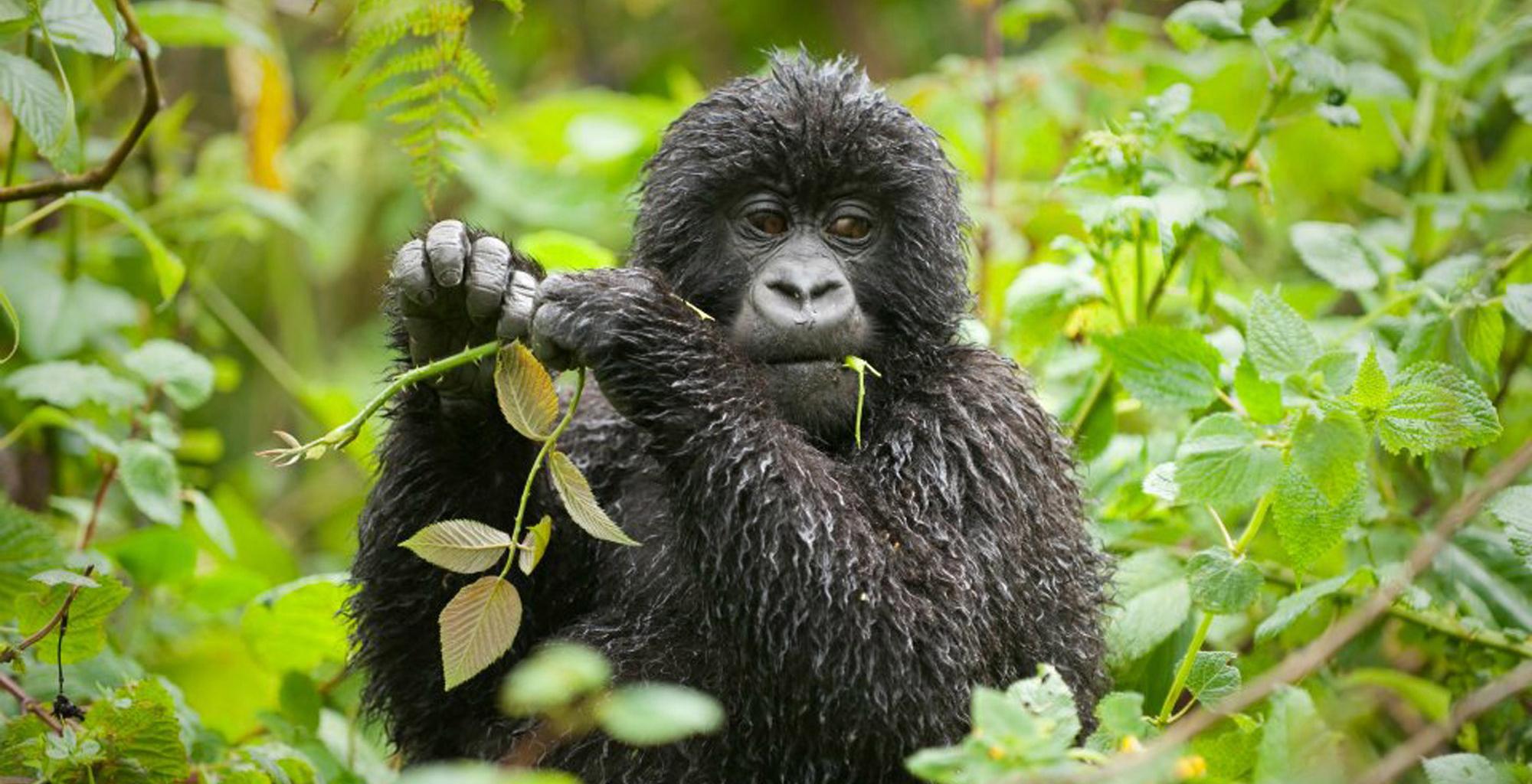 Uganda-Bwindi-Lodge-Gorilla