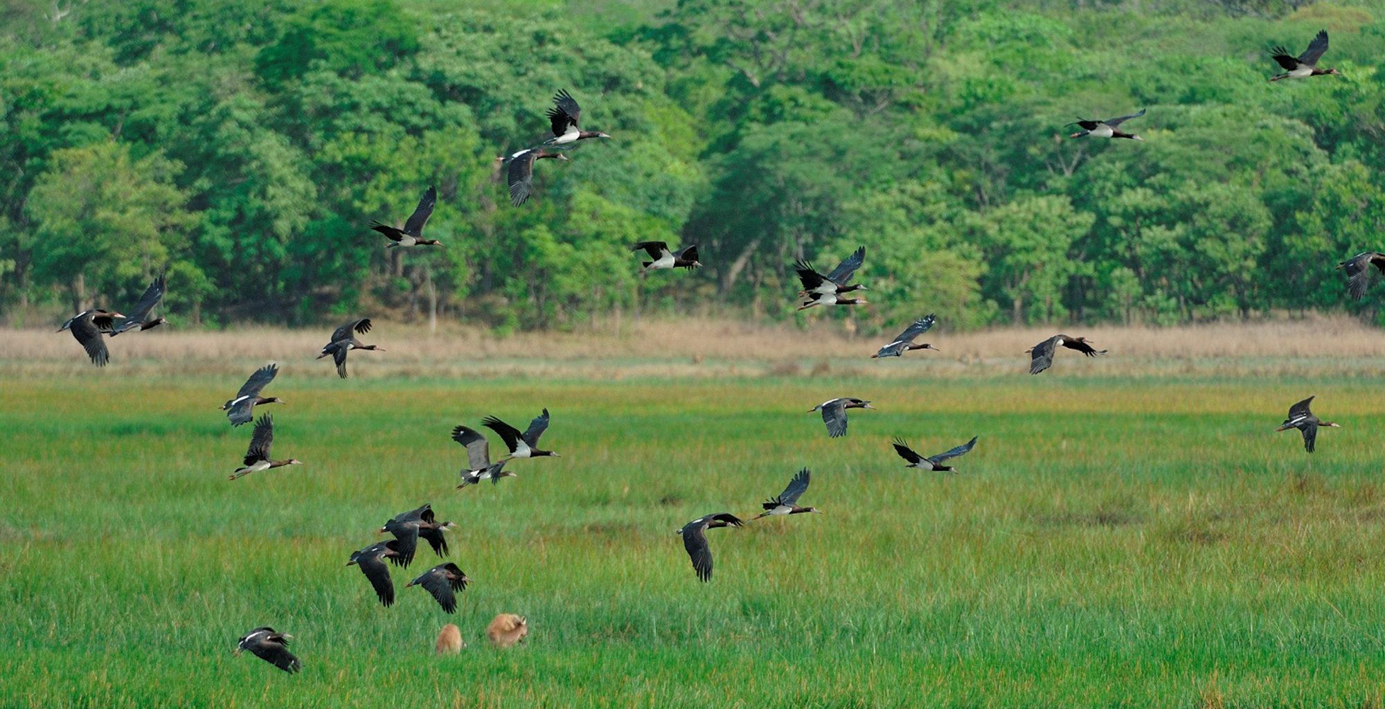 Zambia-Kasanka-National-Park-Stork