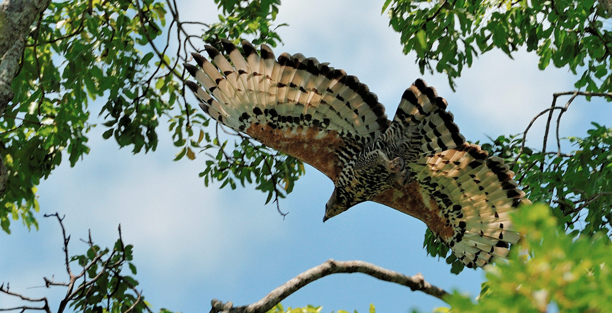 Zambia-Kasanka-National-Park-African-Crowned-Eagle