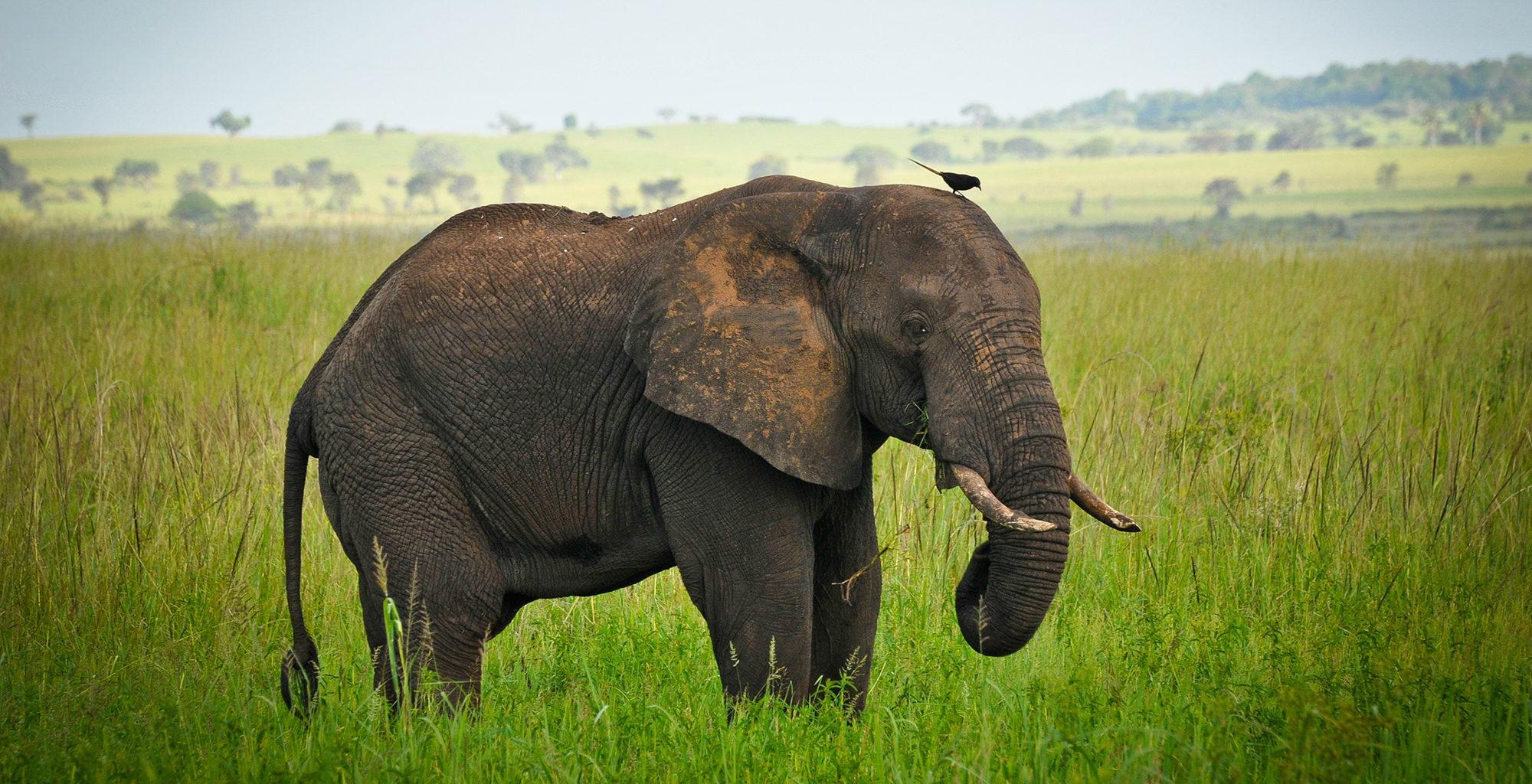 Uganda-Kidepo-Valley-Elephant