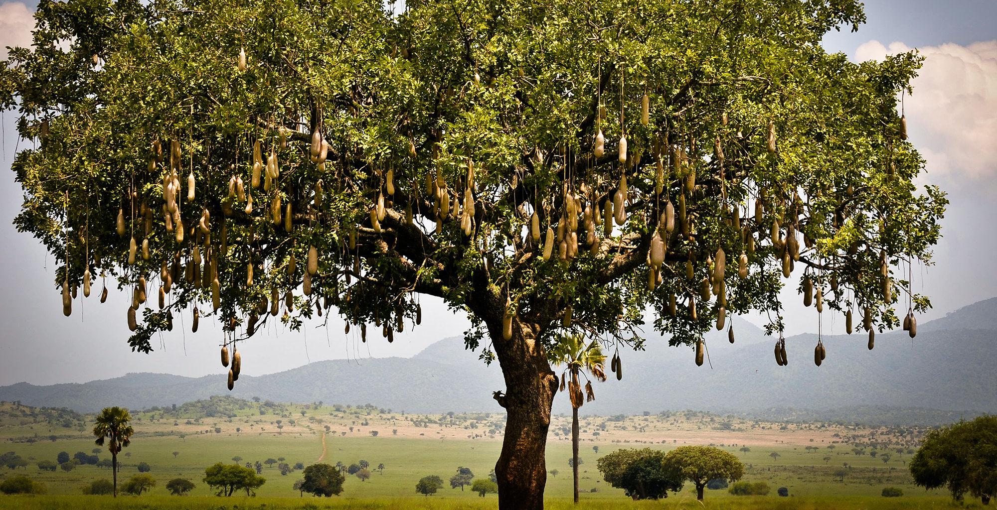 Uganda-Kidepo-Valley-Tree