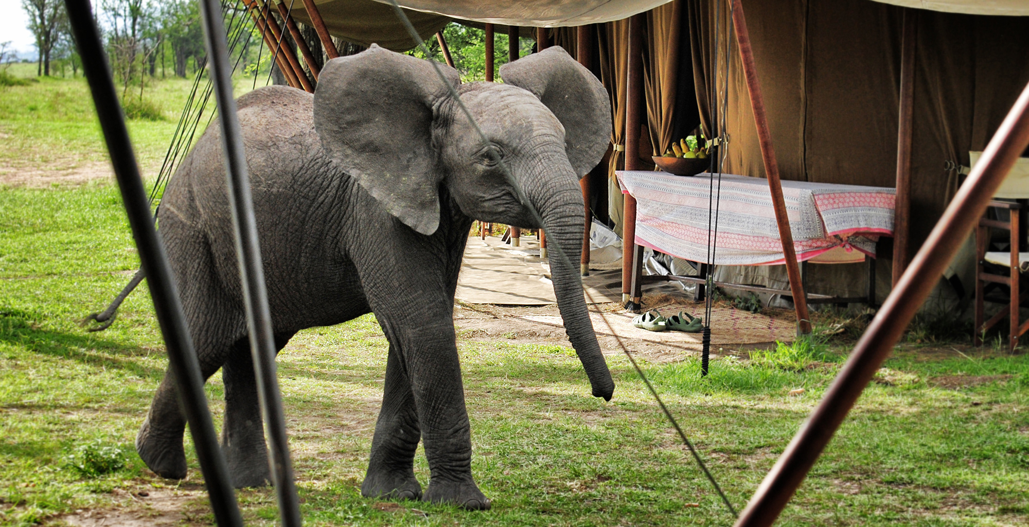 Tanzania-Serians-Serengeti-Mobile-Camp-Elephant-in-Camp