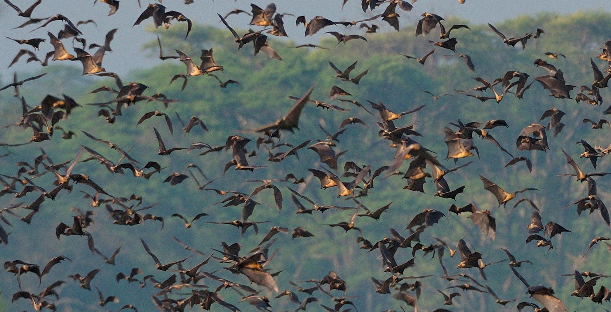Zambia-Kasanka-National-Park-Bats
