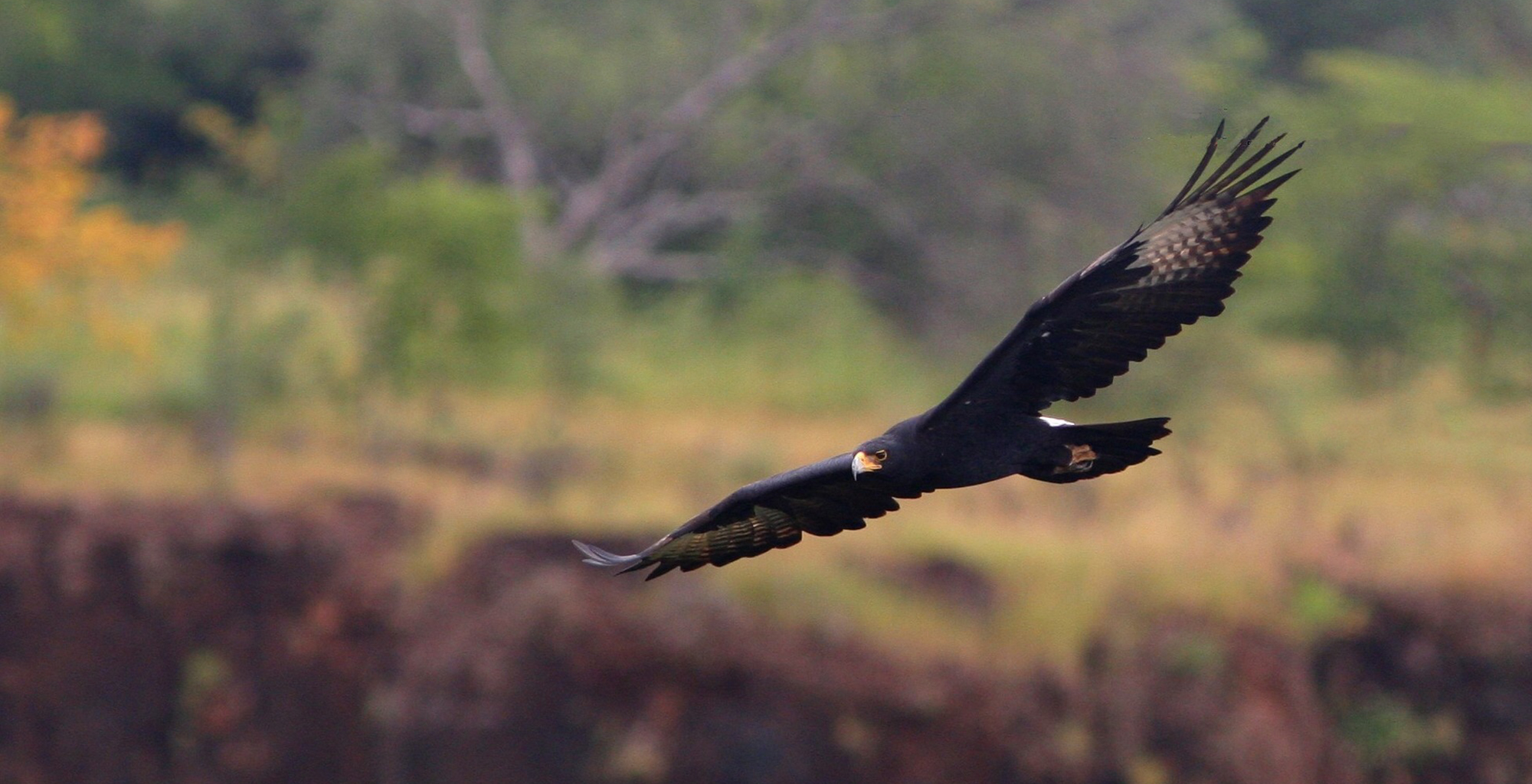 Zambia-River-Club-Birdlife-Eagle