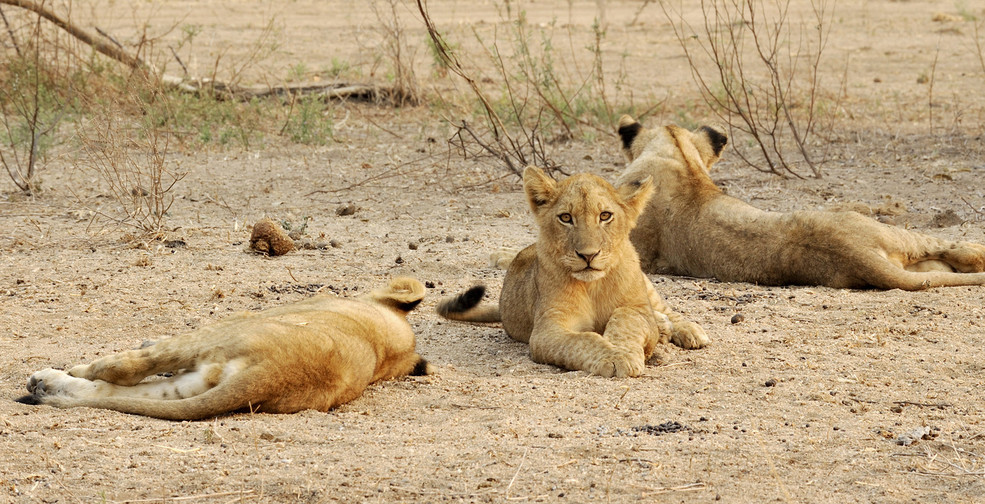 Zambia-Lower-Zambezi-Wildlife-Lion
