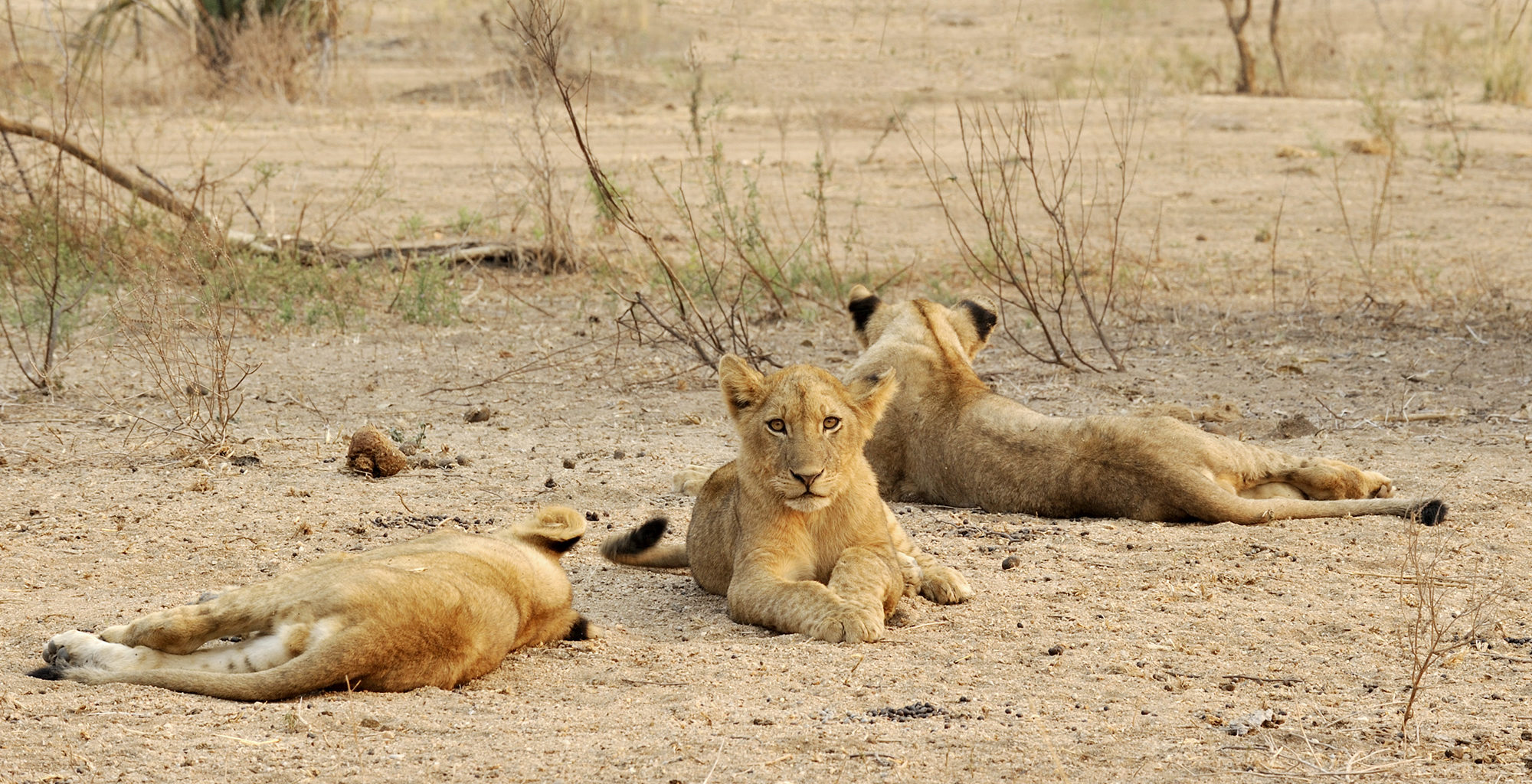 Zambia-Chiawa-Camp-Wildlife-Lion