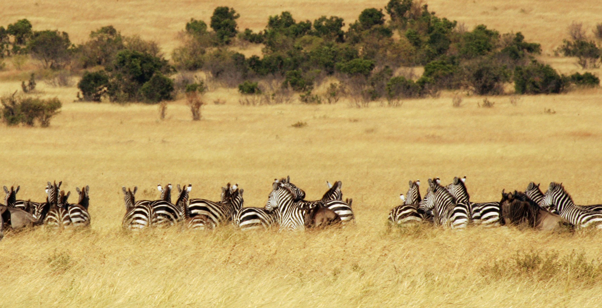 Kenya-Cottars-1920-Safari-Zebra