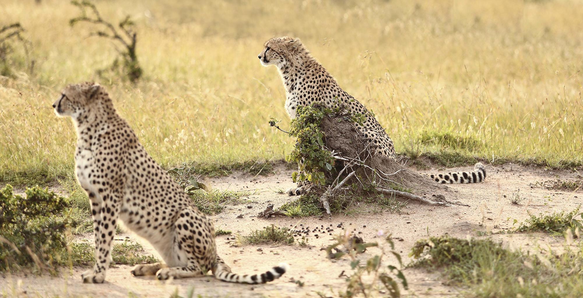 Kenya-Cottars-Private-House-Cheetah