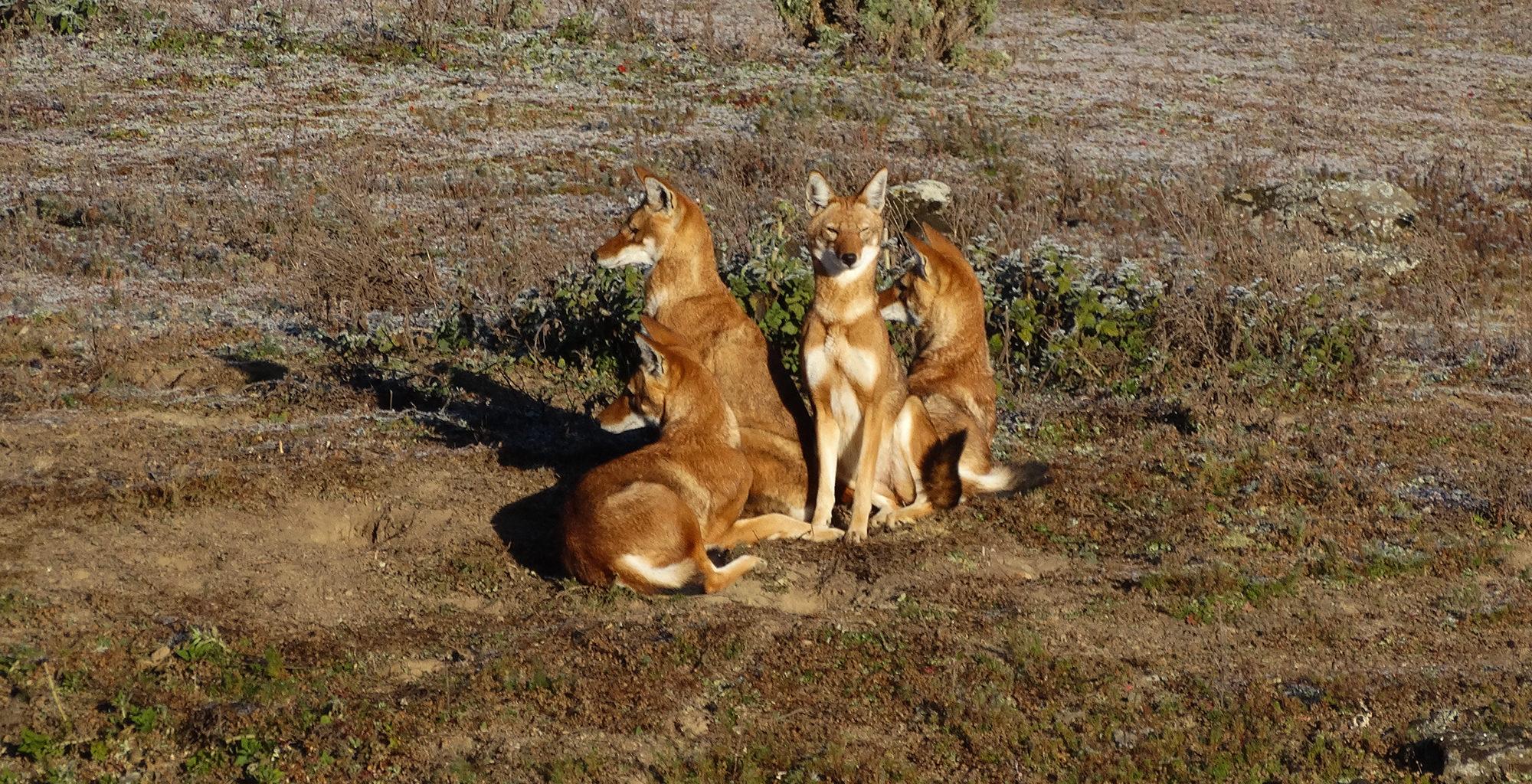 Ethiopia-Wild-Expeditions-Bale-Ethiopian-Wolf