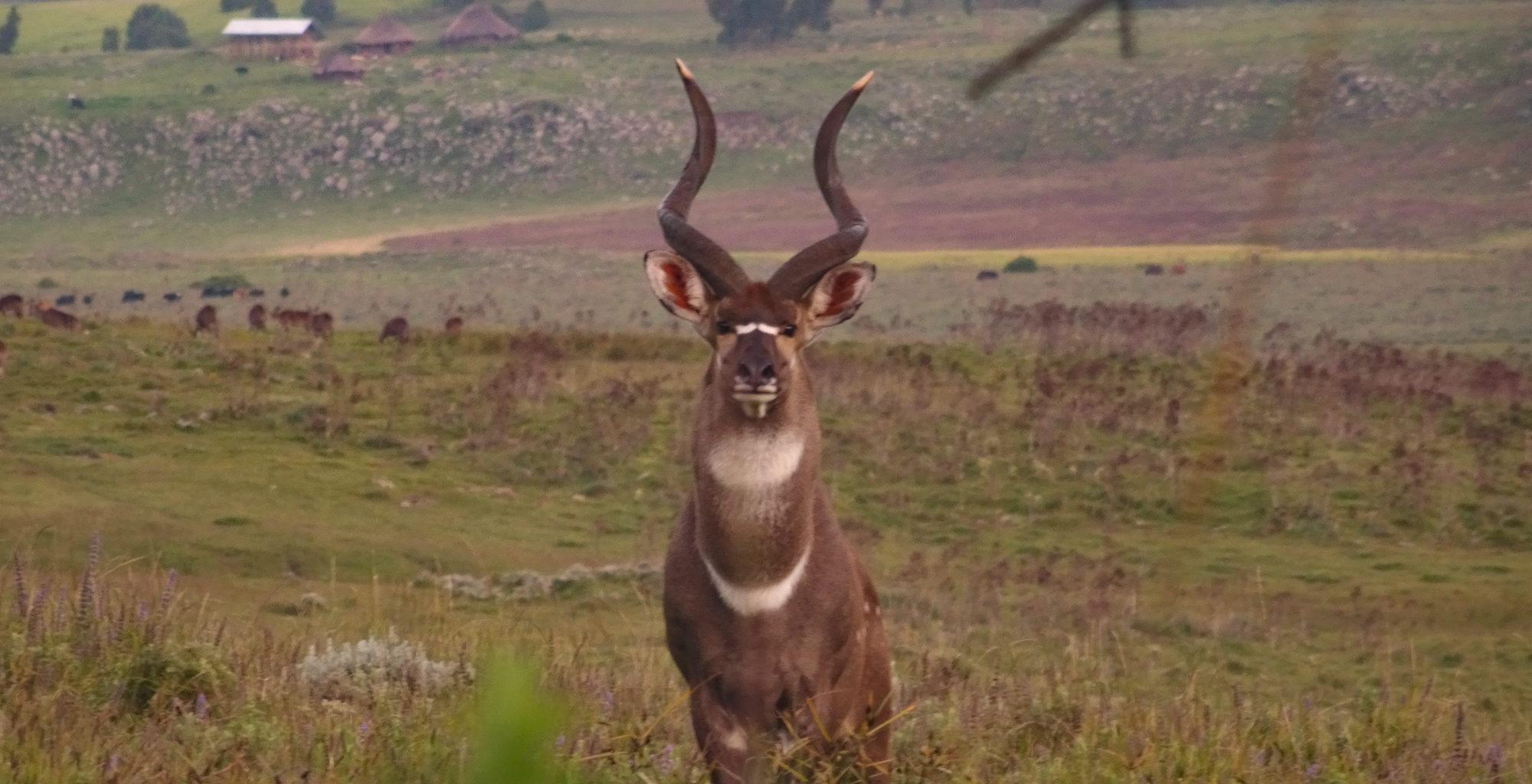 Ethiopia-Wild-Expeditions-Bale-Wildlife